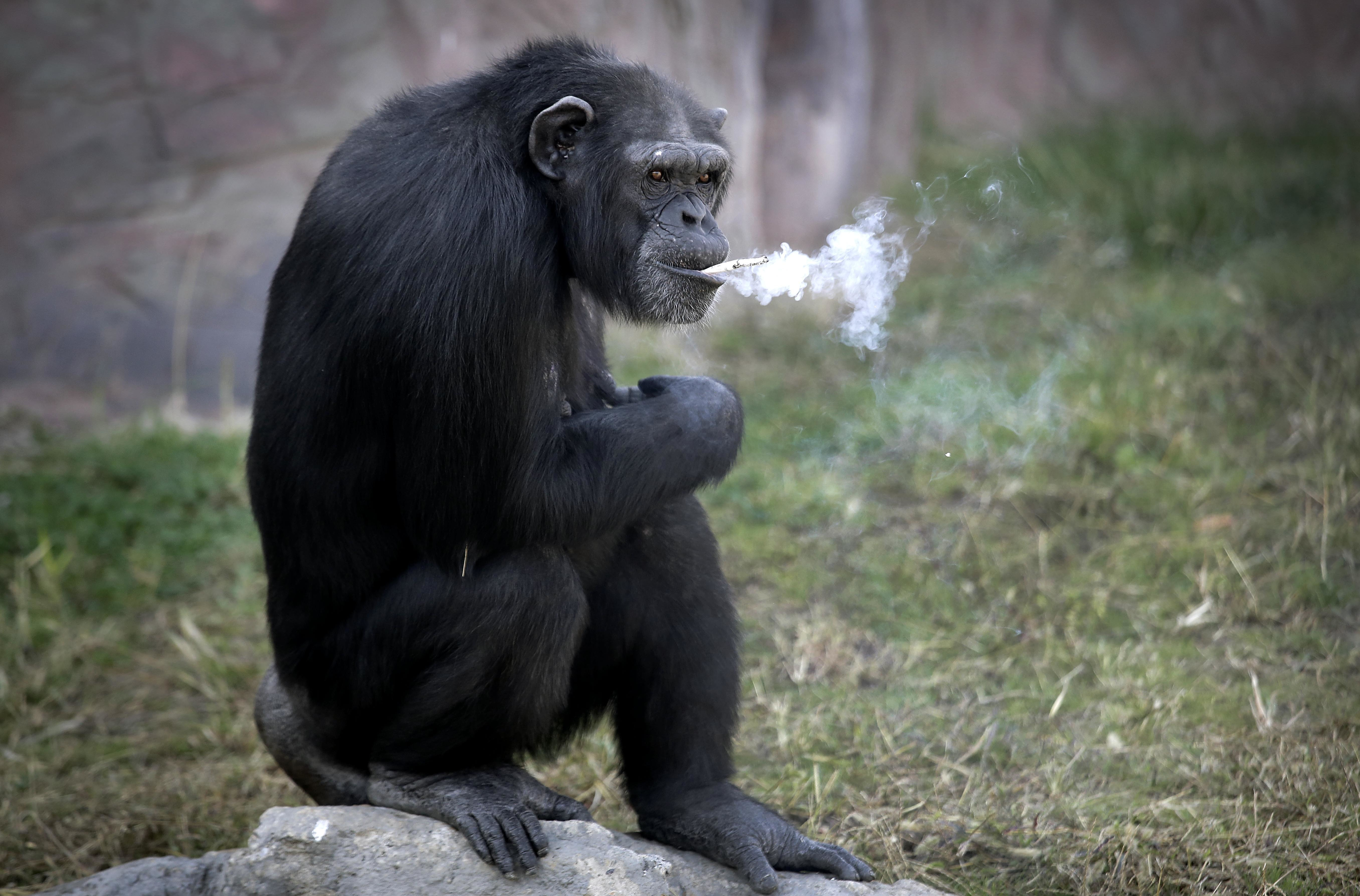 Azalea, a 19-year-old female chimpanzee whose Korean name is  Dallae,  smokes a cigarette at the Central Zoo in Pyongyang, North Korea, on Oct. 19, 2016.