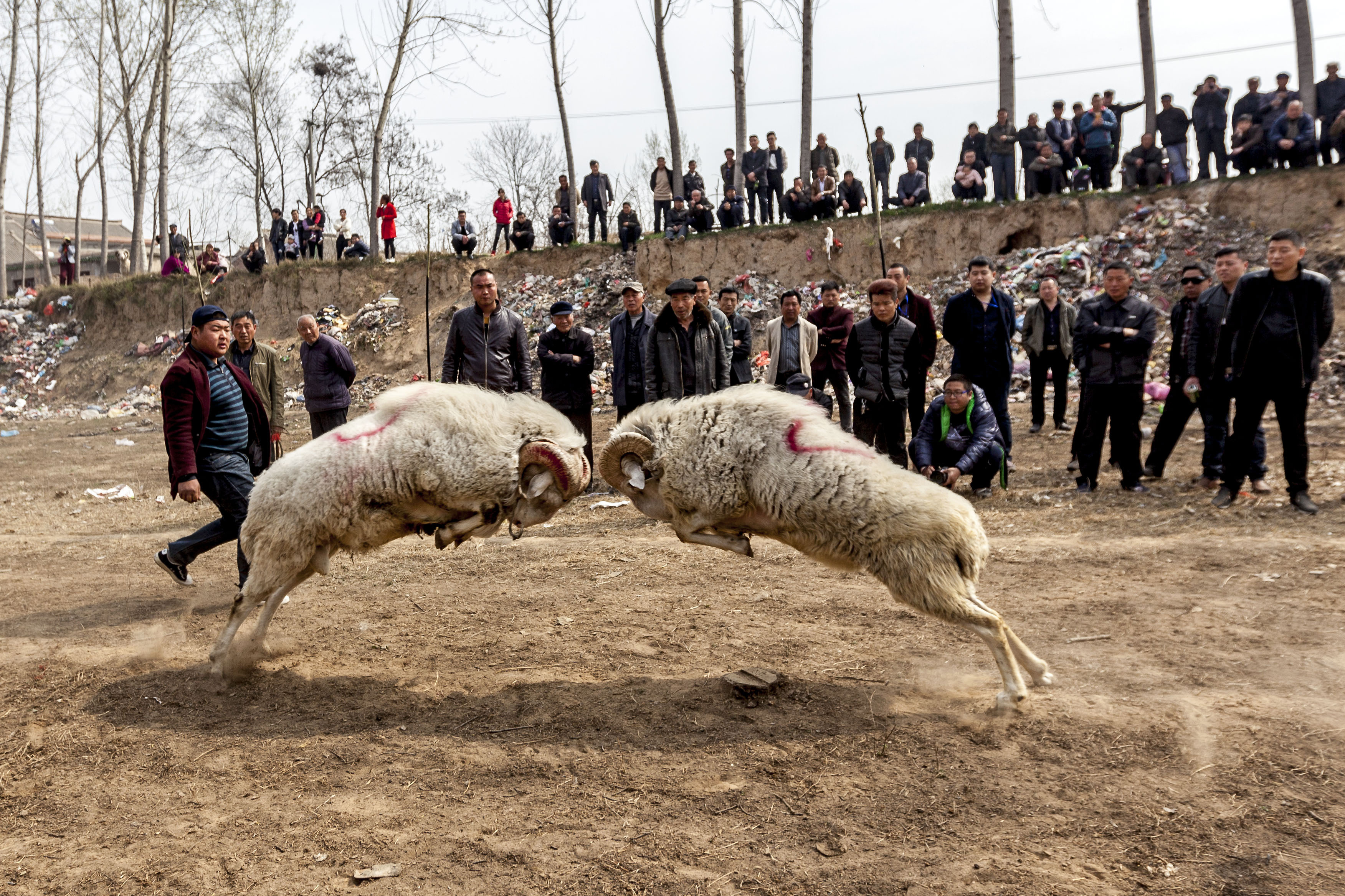 Villagers gather to watch two sheep fighting in a sheep competition during a temple fair at Lihejing Village in Hua County,  China, on March 22, 2016.