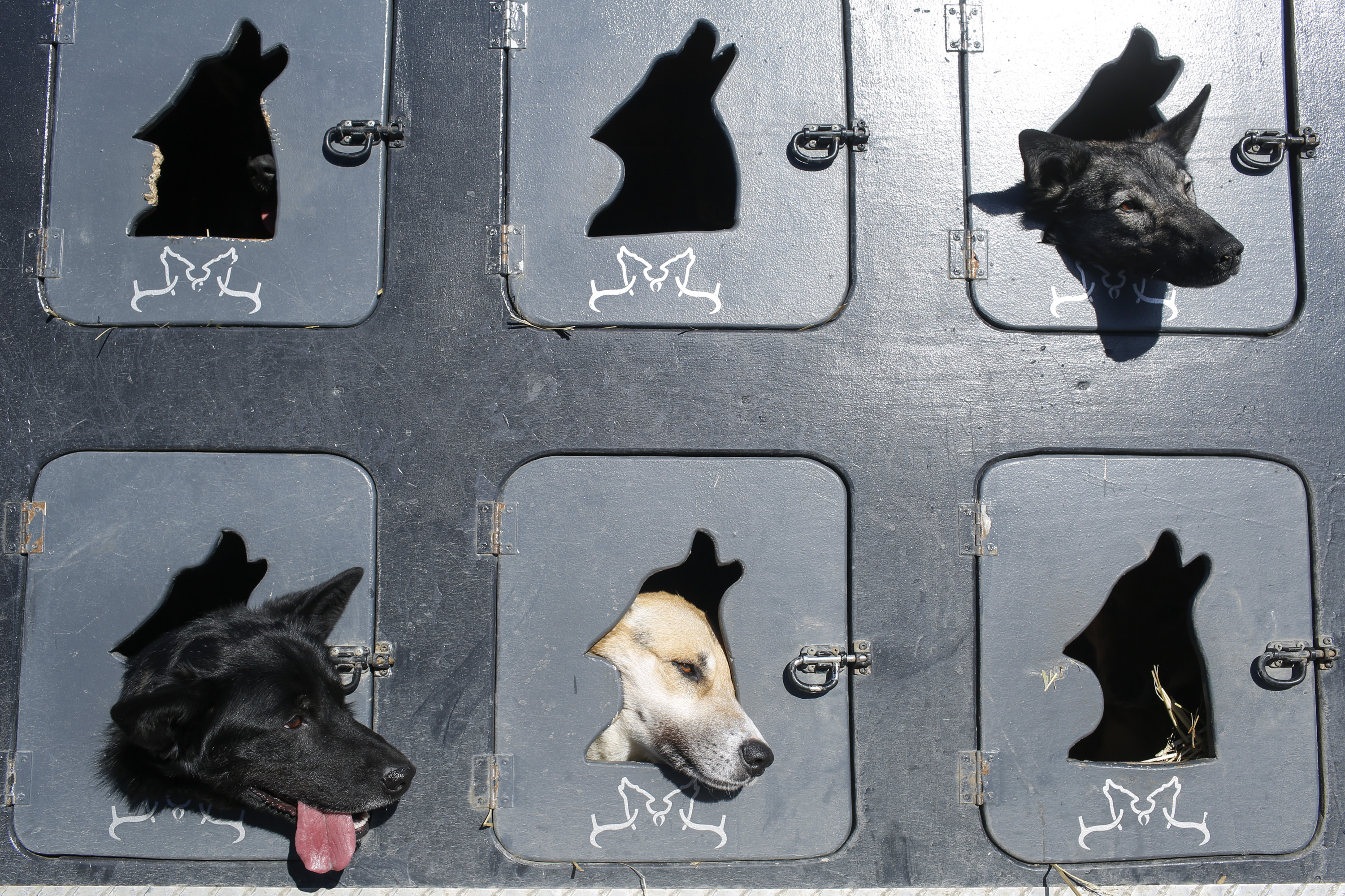Musher Justin Savidis' dogs wait in a truck before the restart of the Iditarod Trail Sled Dog Race in Willow, Alaska, on March 6, 2016.