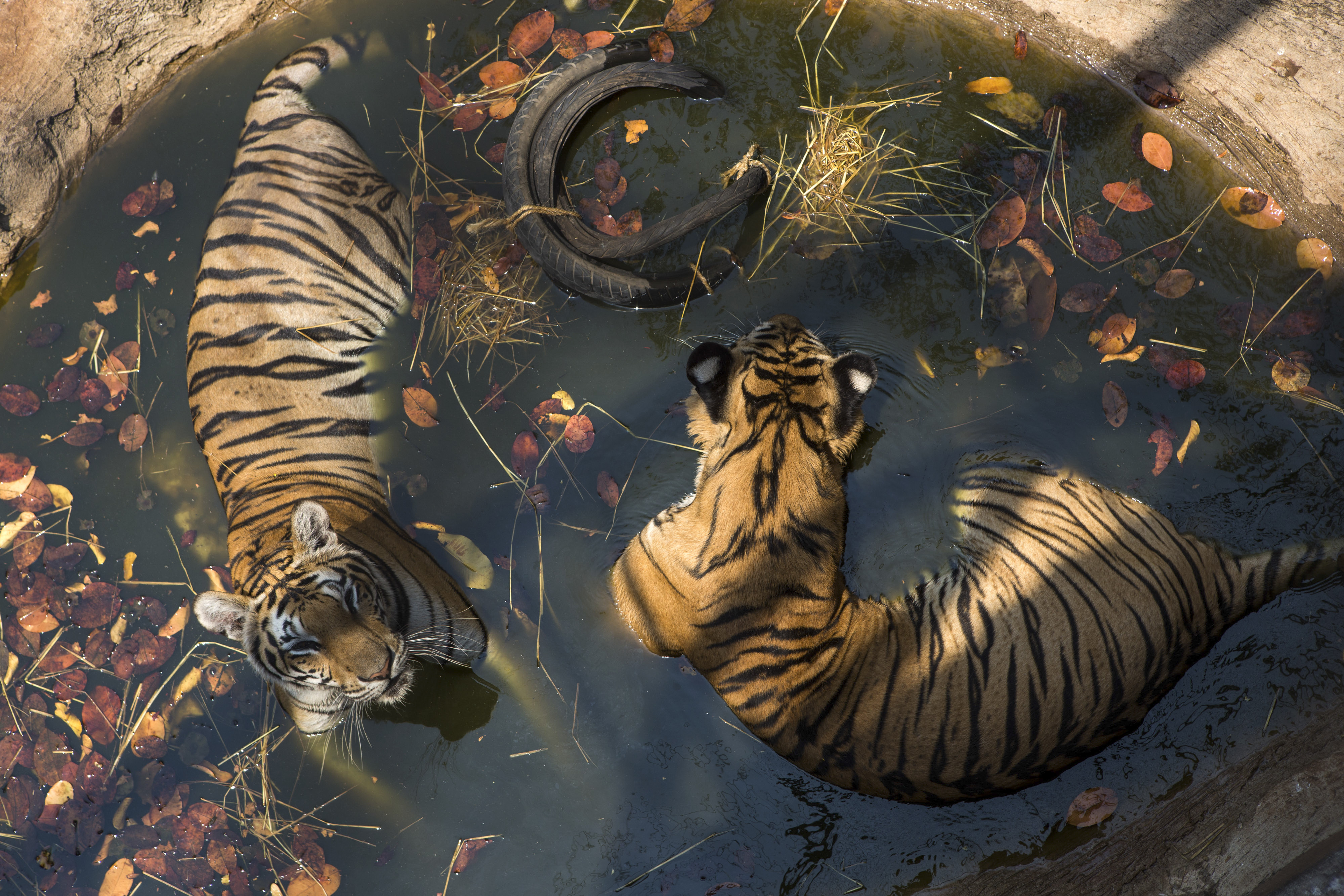 A pair of tigers soak in a shallow pool at the Tiger Temple, a controversial Buddhist monastery where paying visitors can interact with young adult tigers, in Kanchanaburi, Thailand, on March 16, 2016.