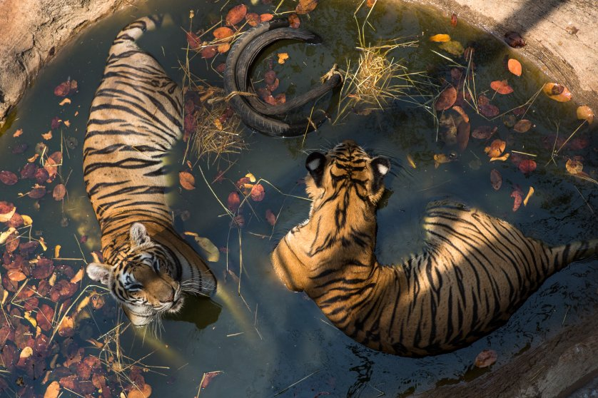 A pair of tigers soak in a shallow pool at Tiger Temple, a Buddhist monastery where paying visitors can interact with young adult tigers, in Kanchanaburi, Thailand, on March 16, 2016.