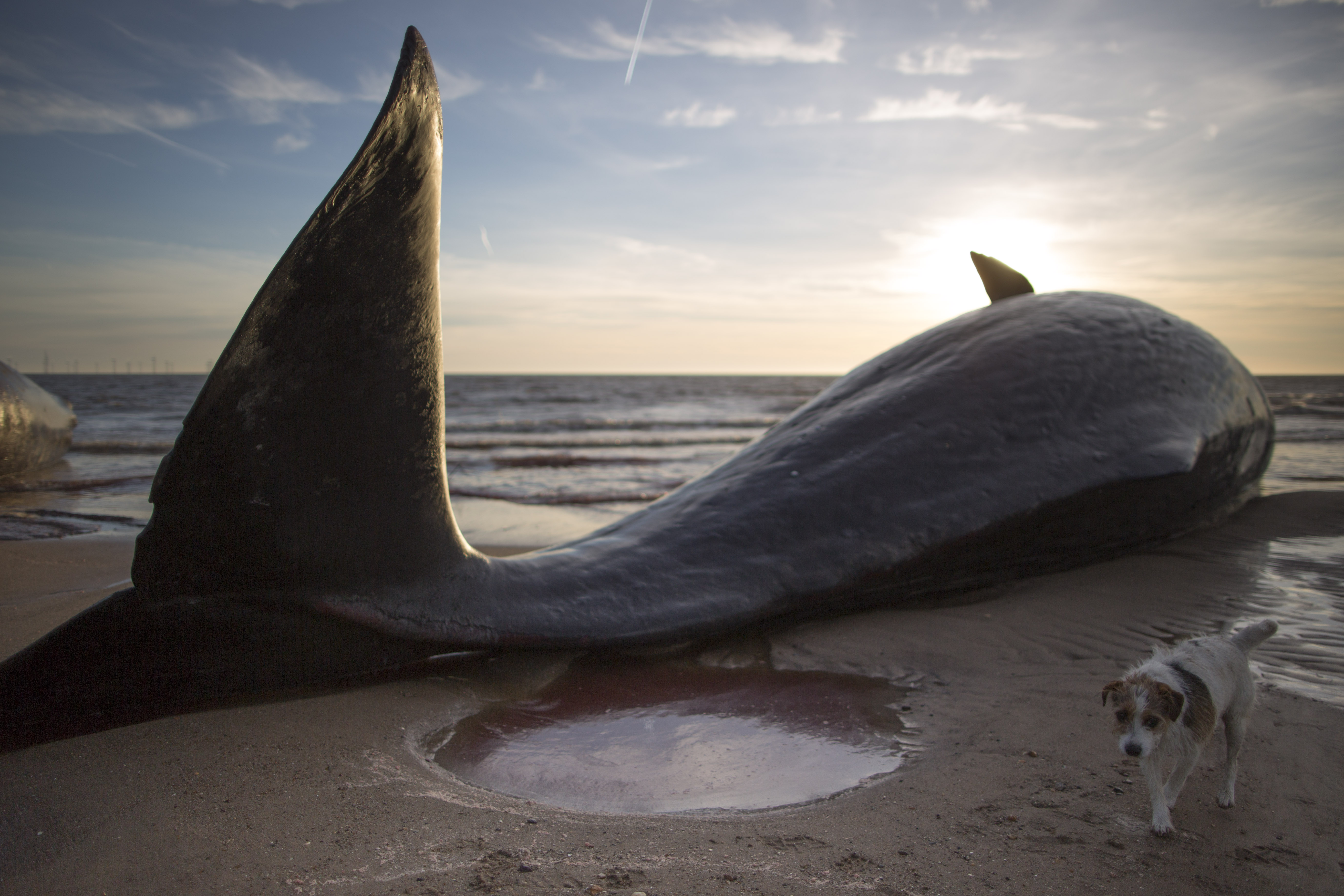 One of three sperm whales, which were found washed ashore, lays on a beach in Skegness, England, on Jan. 25, 2016.