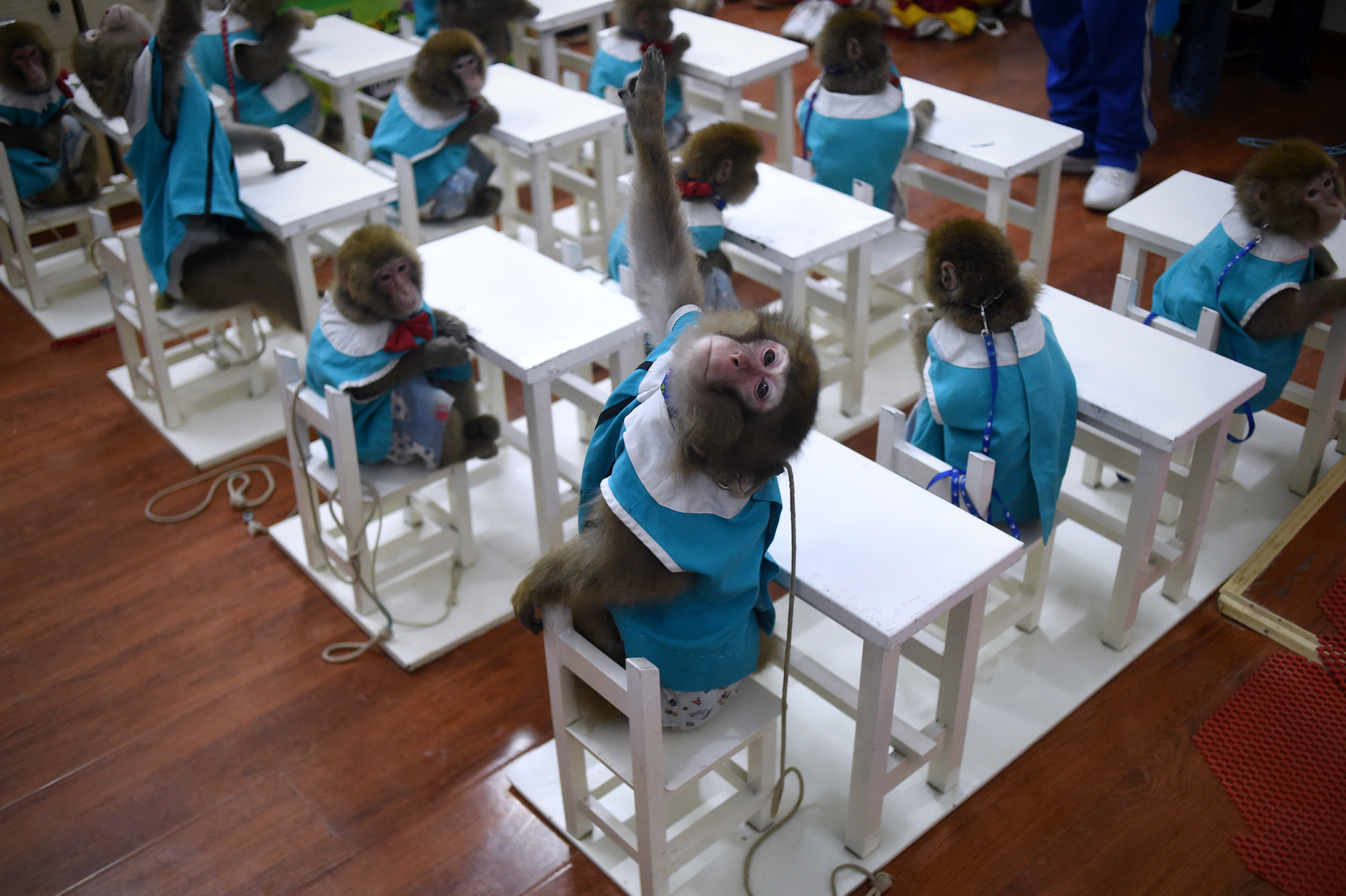 A monkey raises its hand in class at a monkey training school in a zoo in Dongying, China, on Jan. 26, 2016.