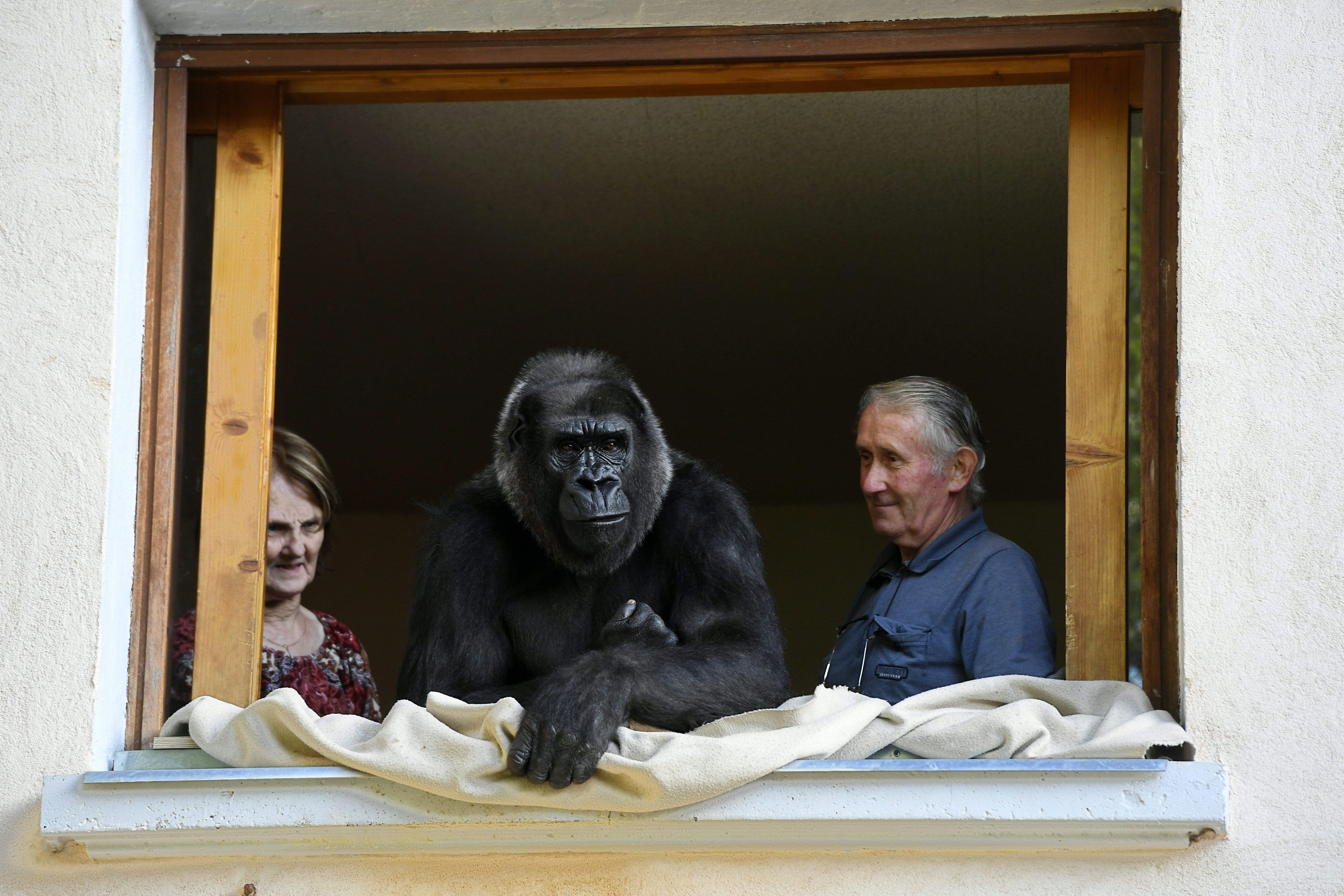 Pierre Thivillon, right, director of the zoological park of Saint-Martin-La-Plaine and his wife Eliane look at Digit, an 18-year-old female gorilla in Saint-Martin-La-Plaine,  France, on Aug. 19, 2016.