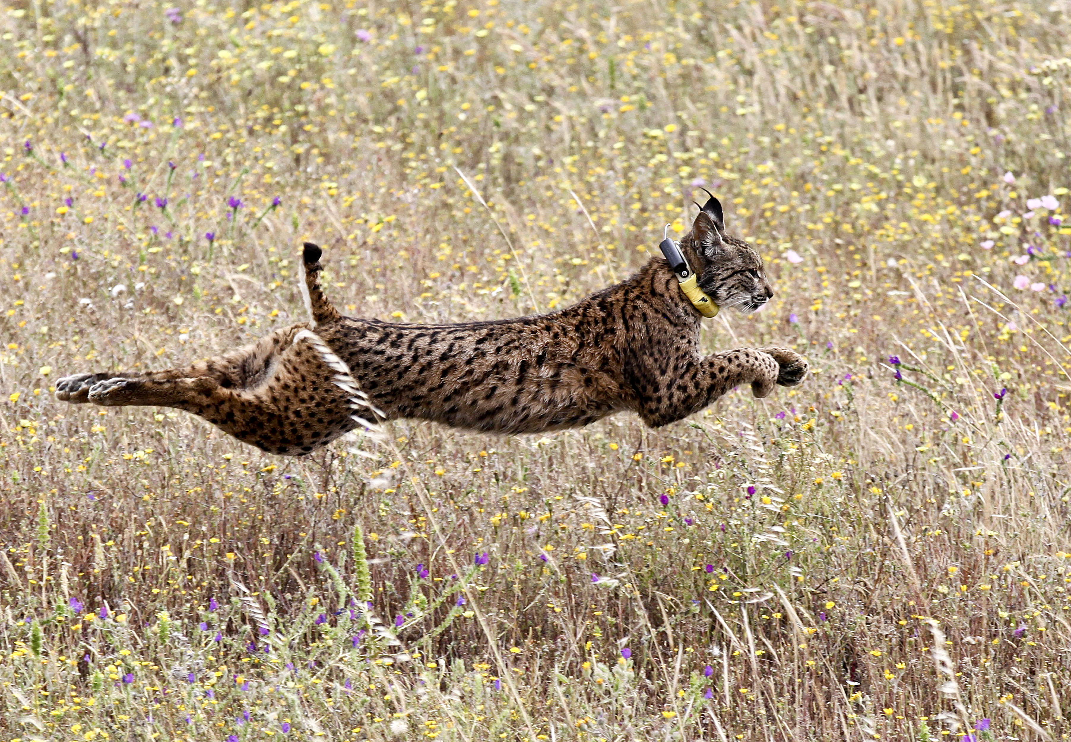An Iberian lynx named Mistral jumps in a field after being released by Portugal's Minister of Environment Joao Matos Fernandes and others in the Mount Milhouro region in Mertola, Portugal, on May 13, 2016.