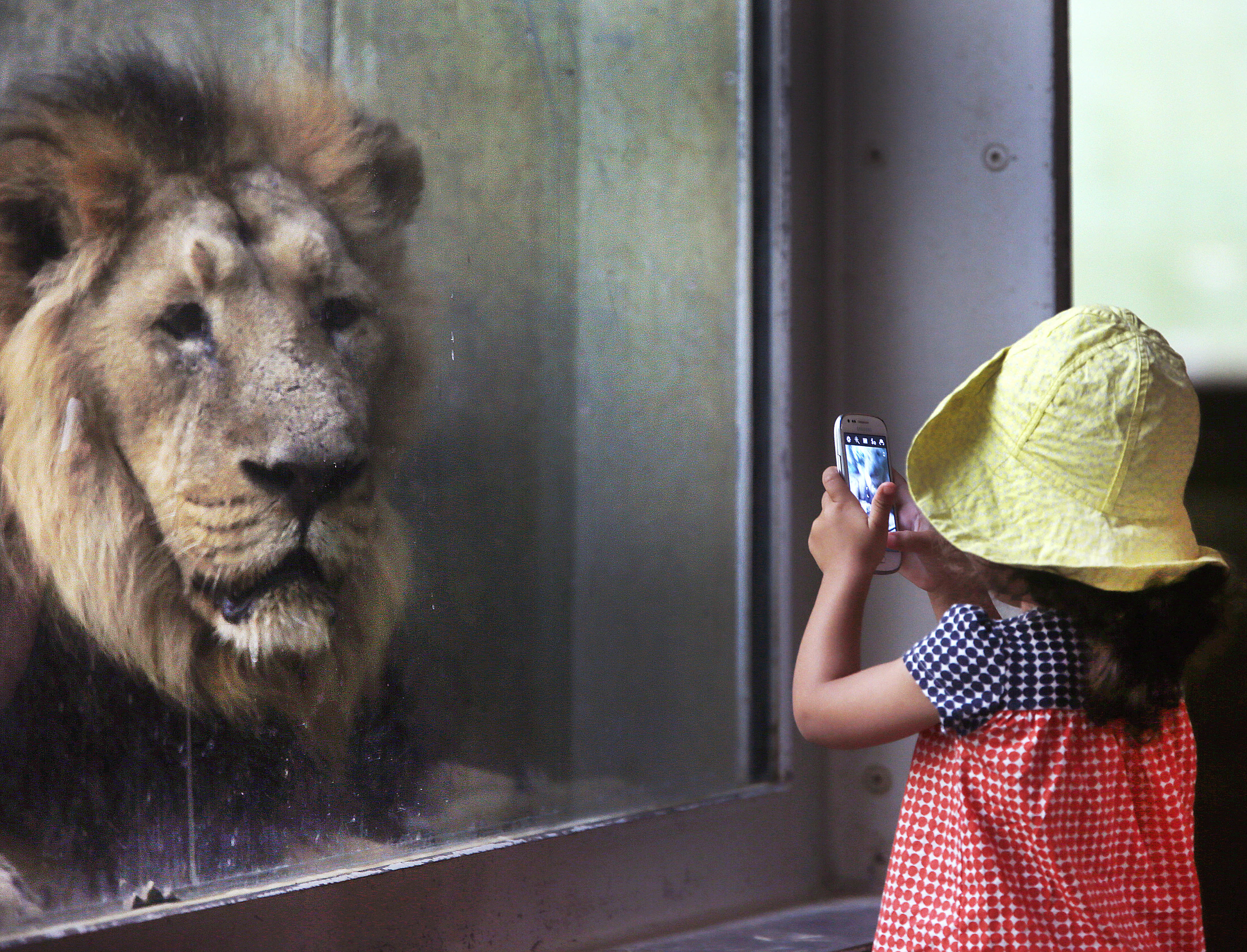 A little girl takes a picture of a lion in the zoo in Frankfurt, Germany, on Sept. 13, 2016.