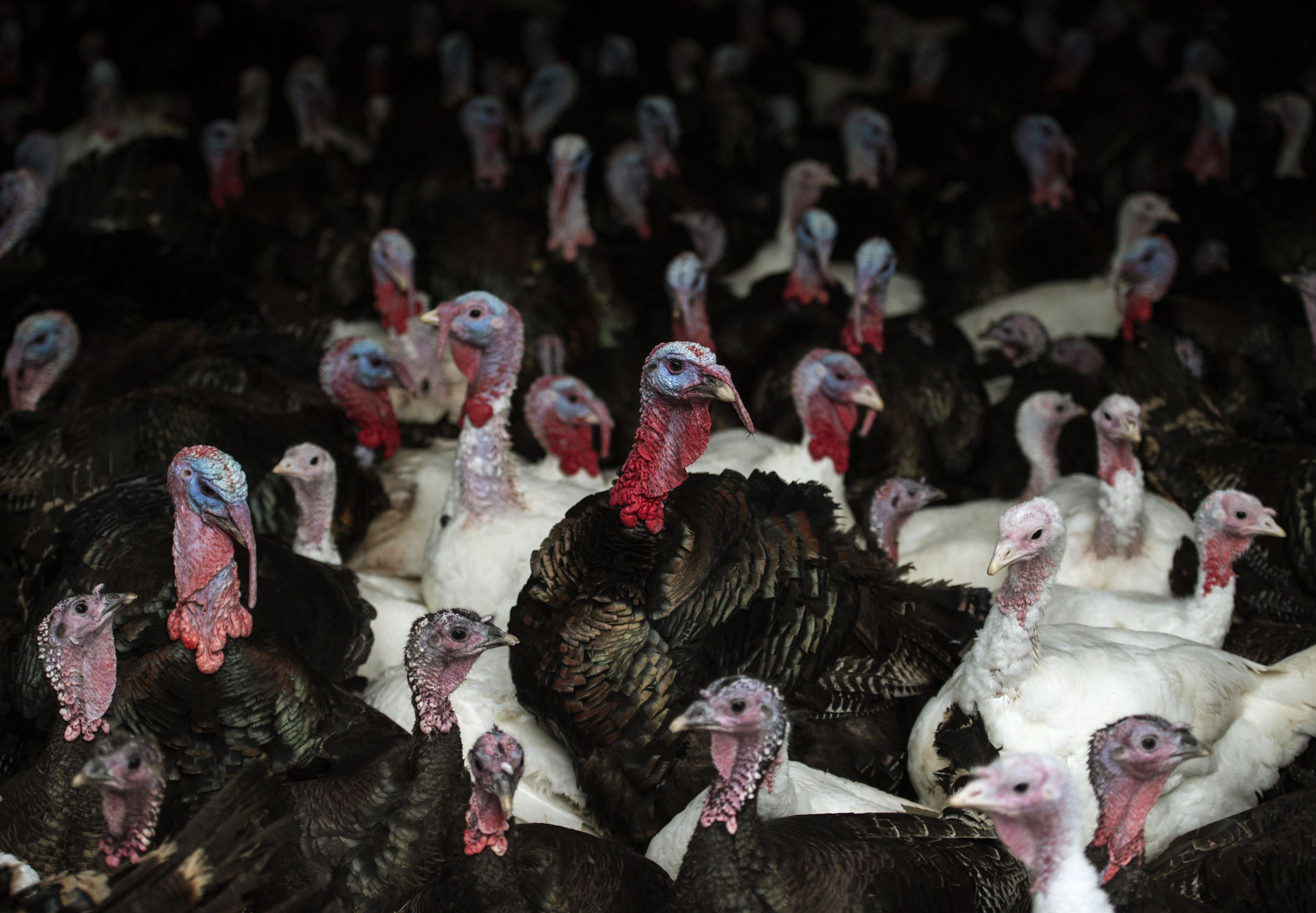 Bronze and white turkeys are seen on poultry farm on November 23, 2016.