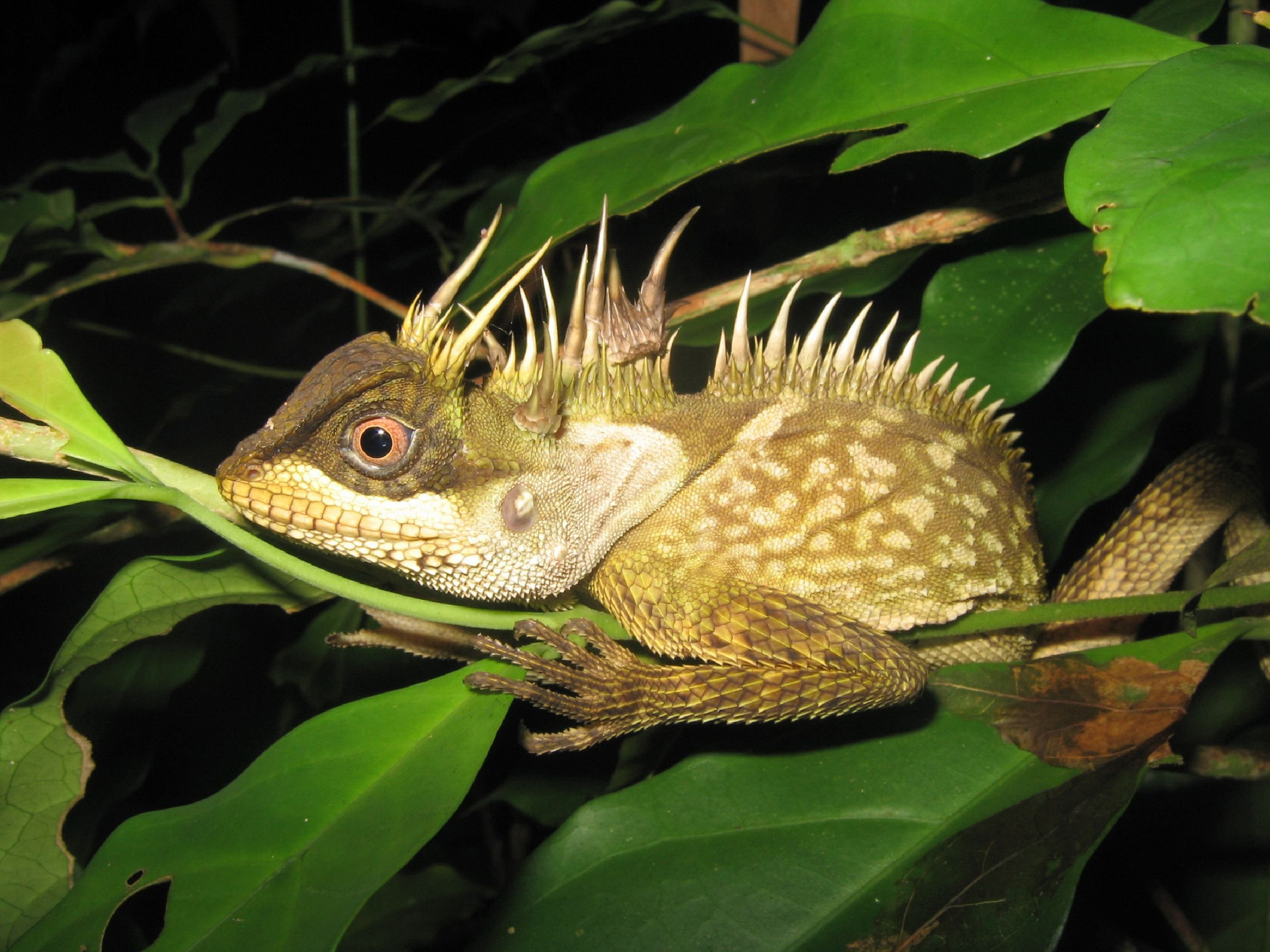 A new species of lizard called acanthosaura phuketensis in Phuket.