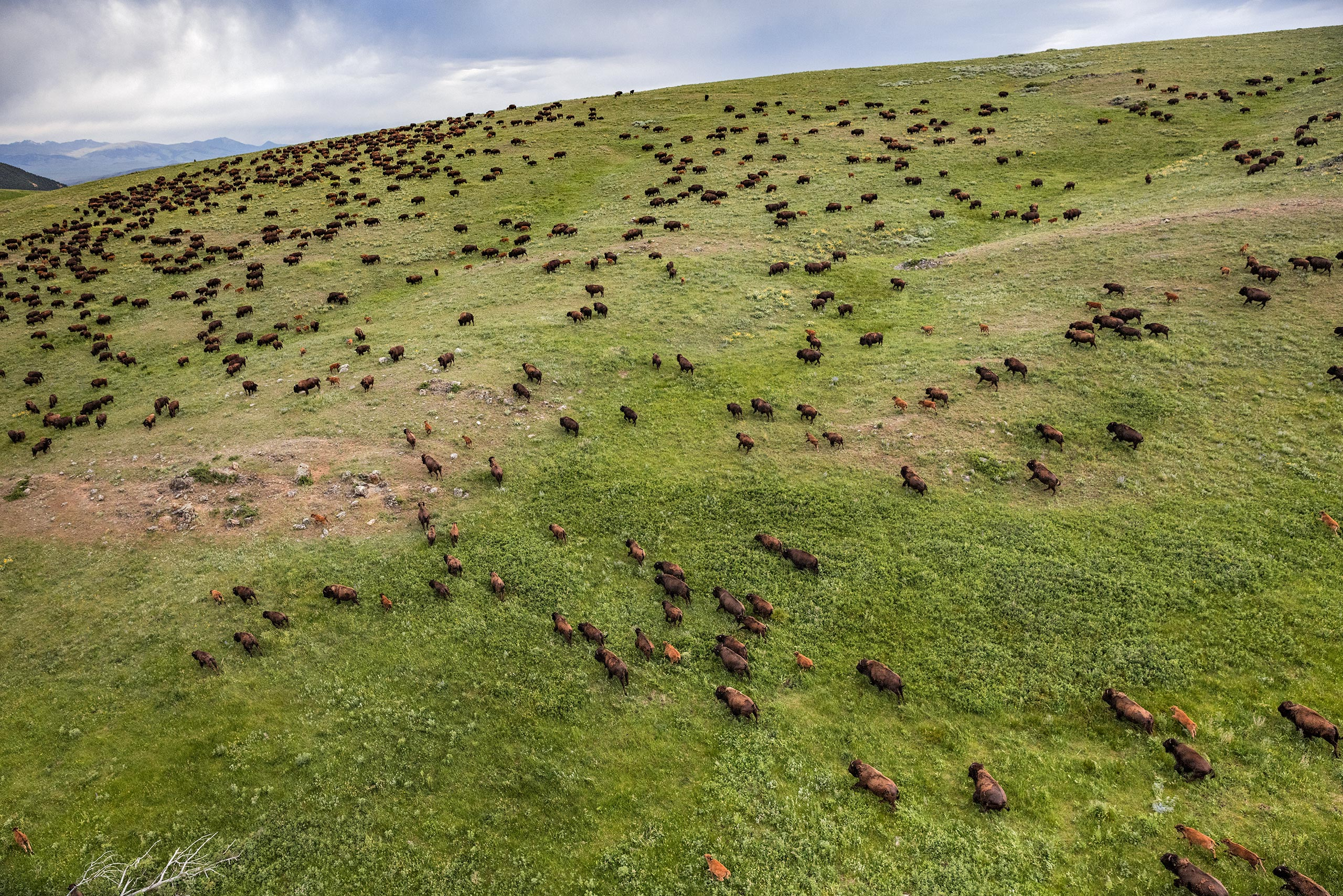 Bison are photographed on Ted Turner's Flying D Ranch outside Bozeman, MT on Tuesday, June 14, 2016.From  A Visual Ode to the American Dream