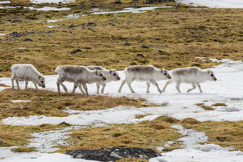 Svalbard reindeer (Rangifer tarandus) grazing on the tundra in Arctic Norway