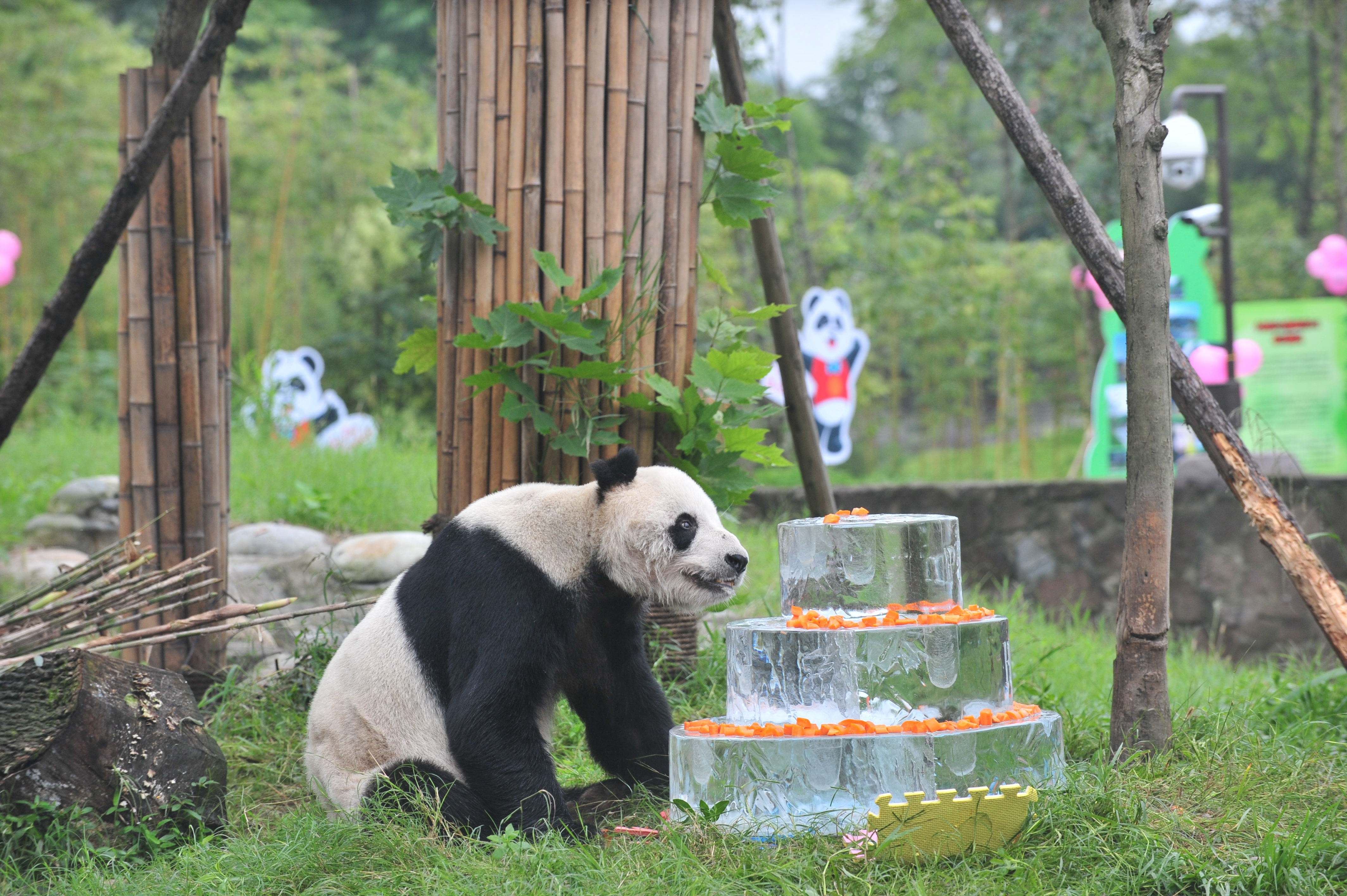 Giant panda Pan Pan sits near a frozen cake during its 30th birthday celebration at the China Conservation and Research Center for the Giant Panda in Dujiangyan, China, Sept. 21, 2015.