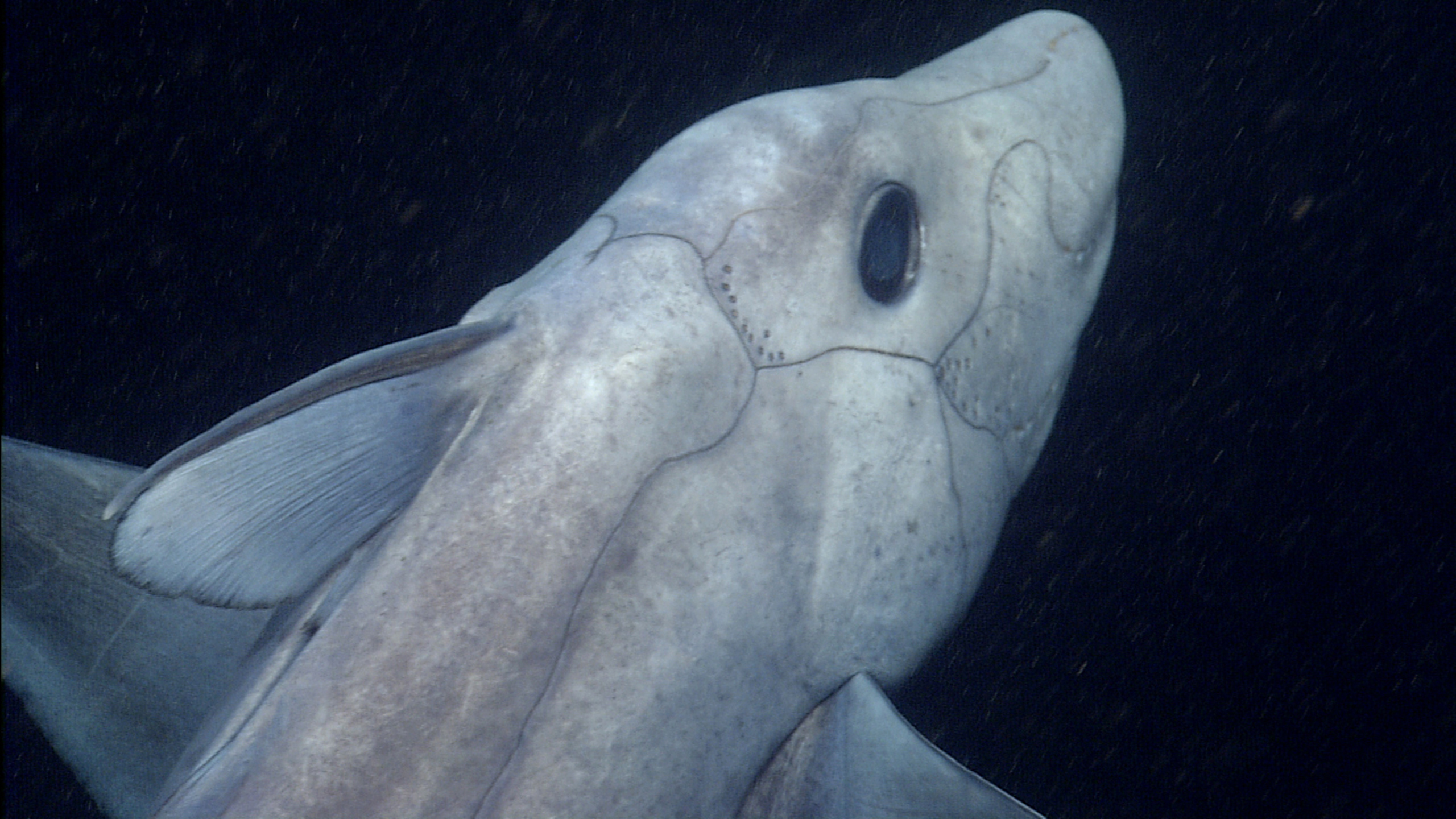 This pointy-nosed blue chimaera (Hydrolagus cf. trolli) was videotaped by MBARI's remotely operated vehicle Tiburon near the summit of Davidson Seamount, off the coast of Central California at a depth of about 1,640 meters.