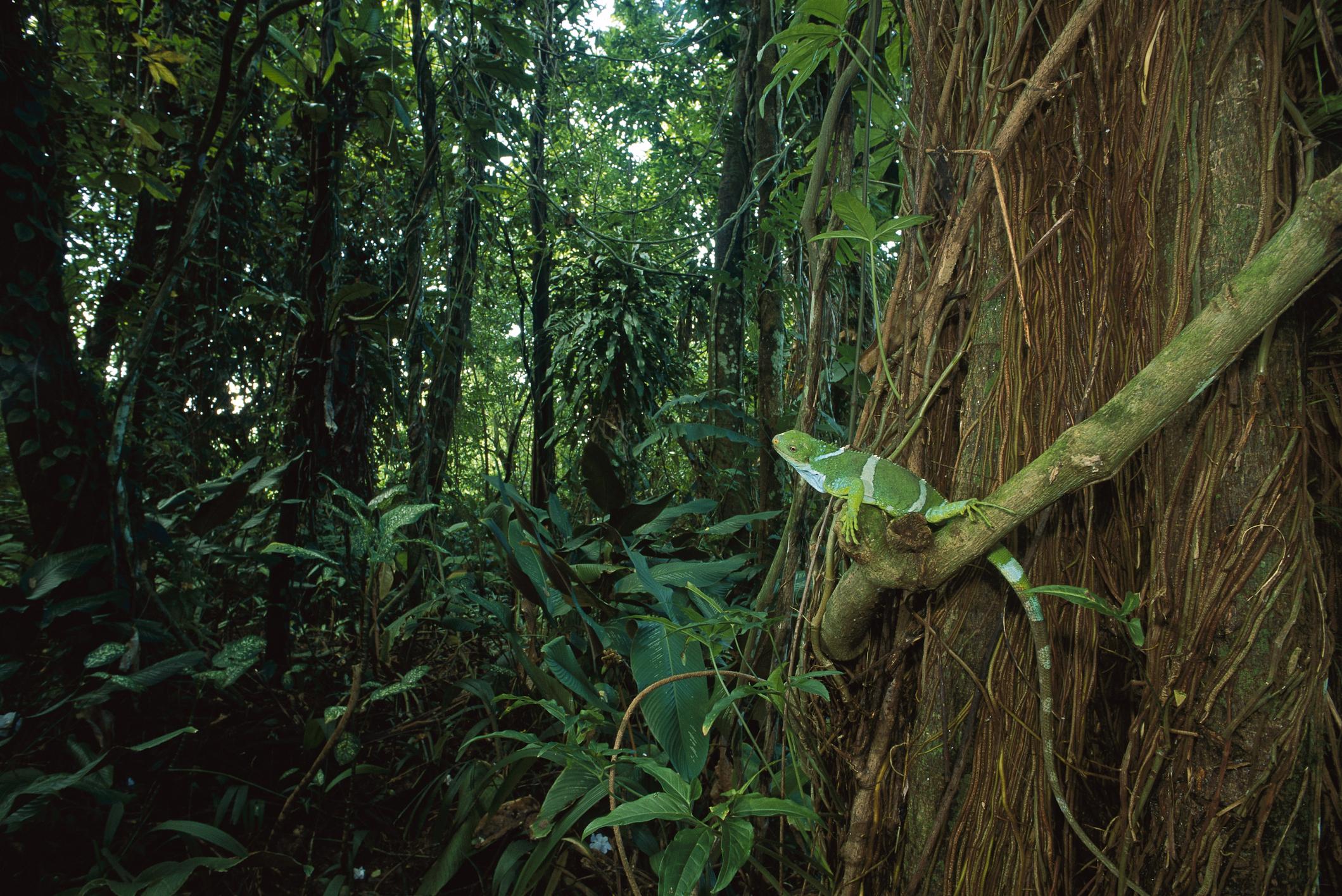 Fiji crested iguana on rainforest vine