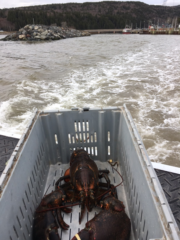 """King Louie"" the lobster rides on the back of a boat on his way to be set free after being saved by Katie Conklin in Alma, Canada."