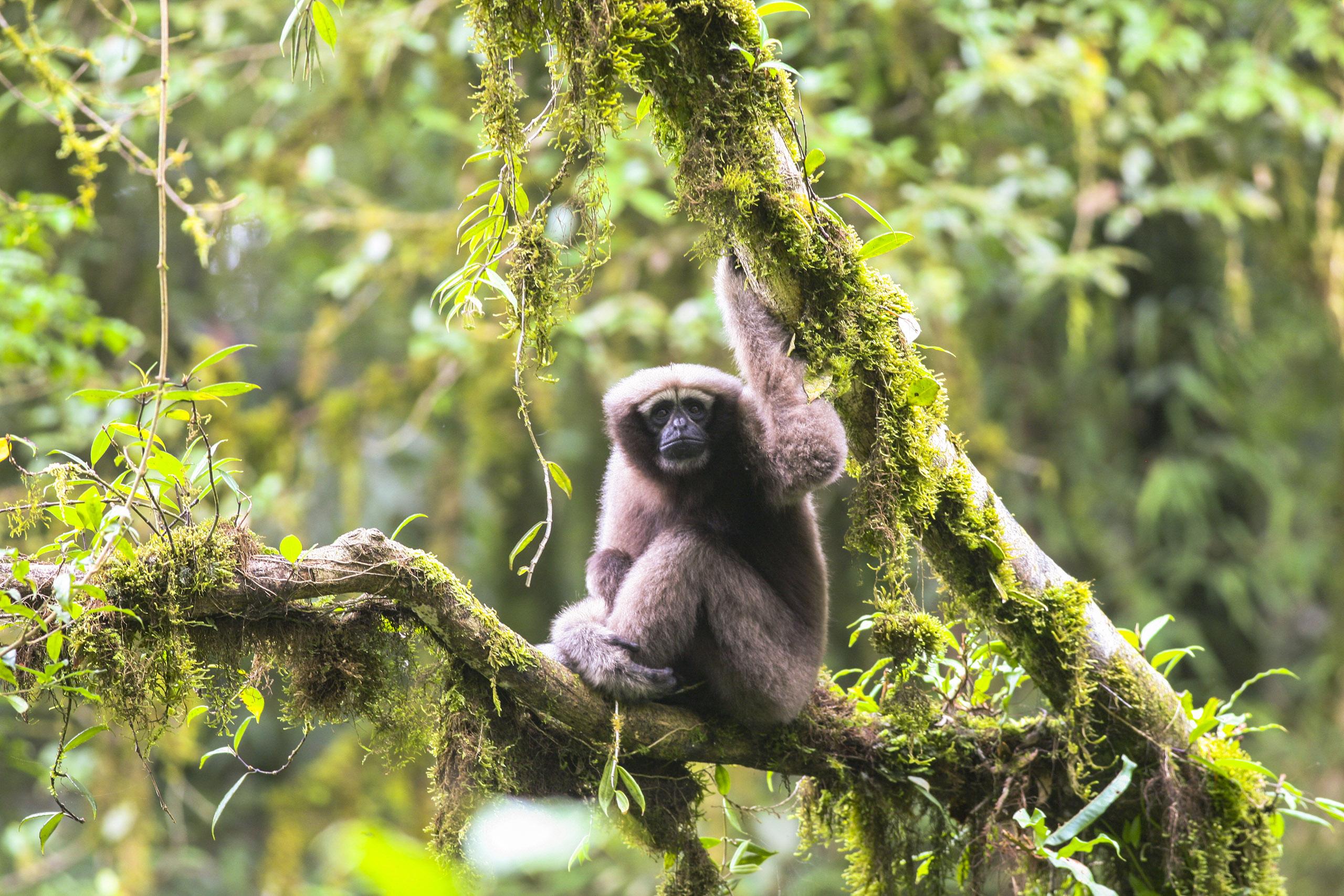Adult female Skywalker hoolock gibbon.