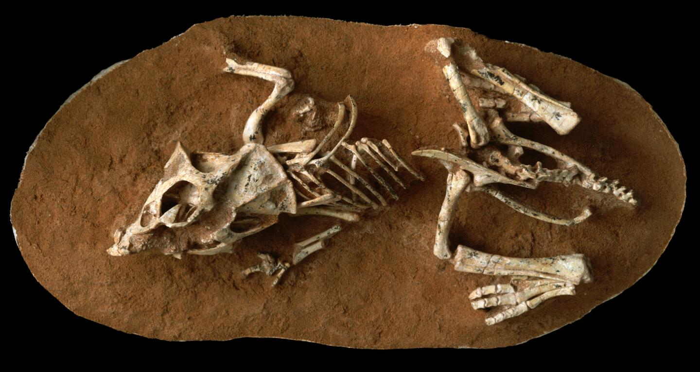A photo of a hatchling Protoceratops andrewsi fossil from the Gobi Desert Ukhaa Tolgod, Mongolia.
