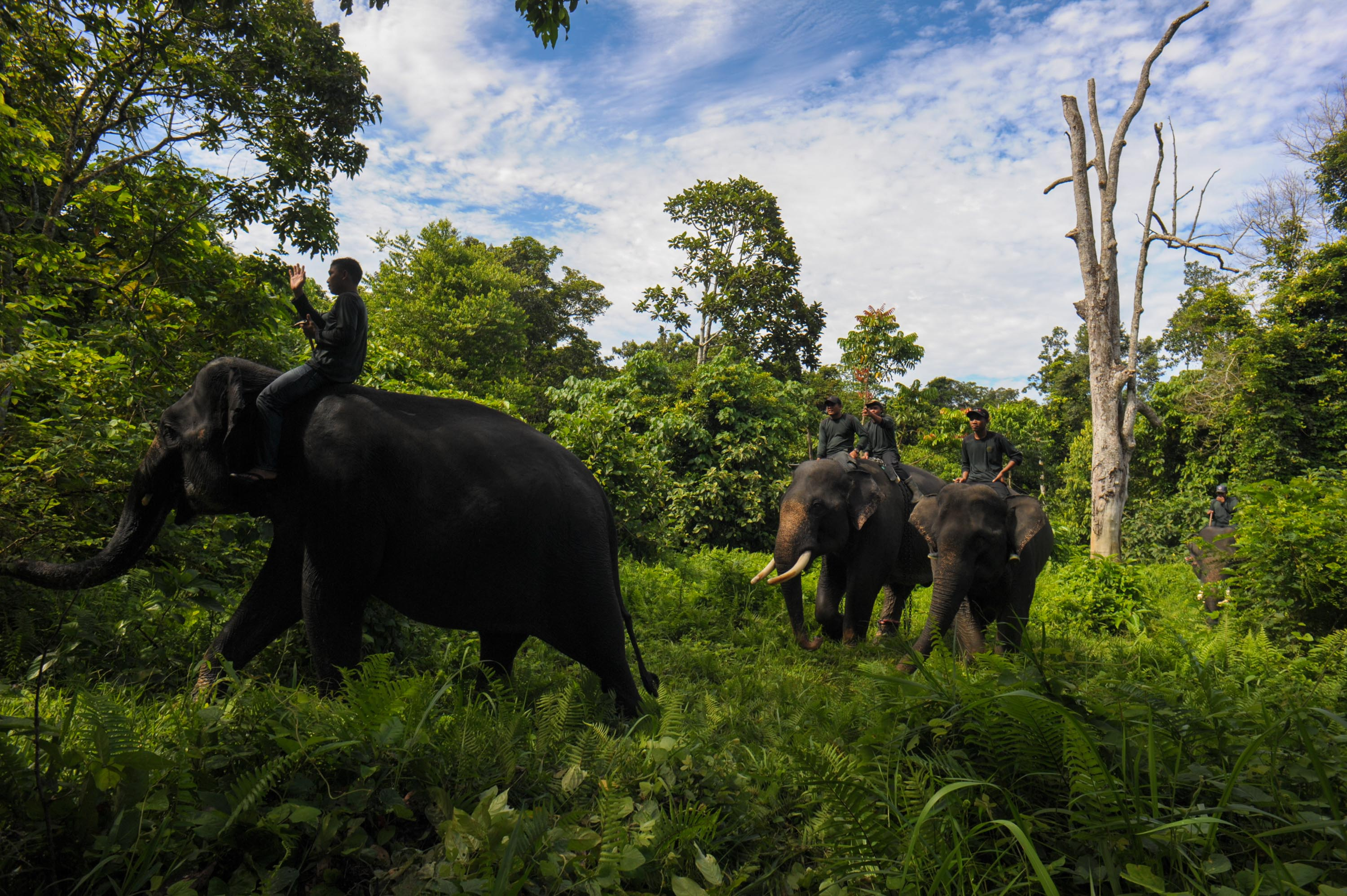 This picture taken in Leuser National park, South Aceh on April 16, 2016 shows Indonesian mahouts and elephants conducting a patrol along the Leuser Ecosystem corridor close to palm oil plantations in South Aceh.