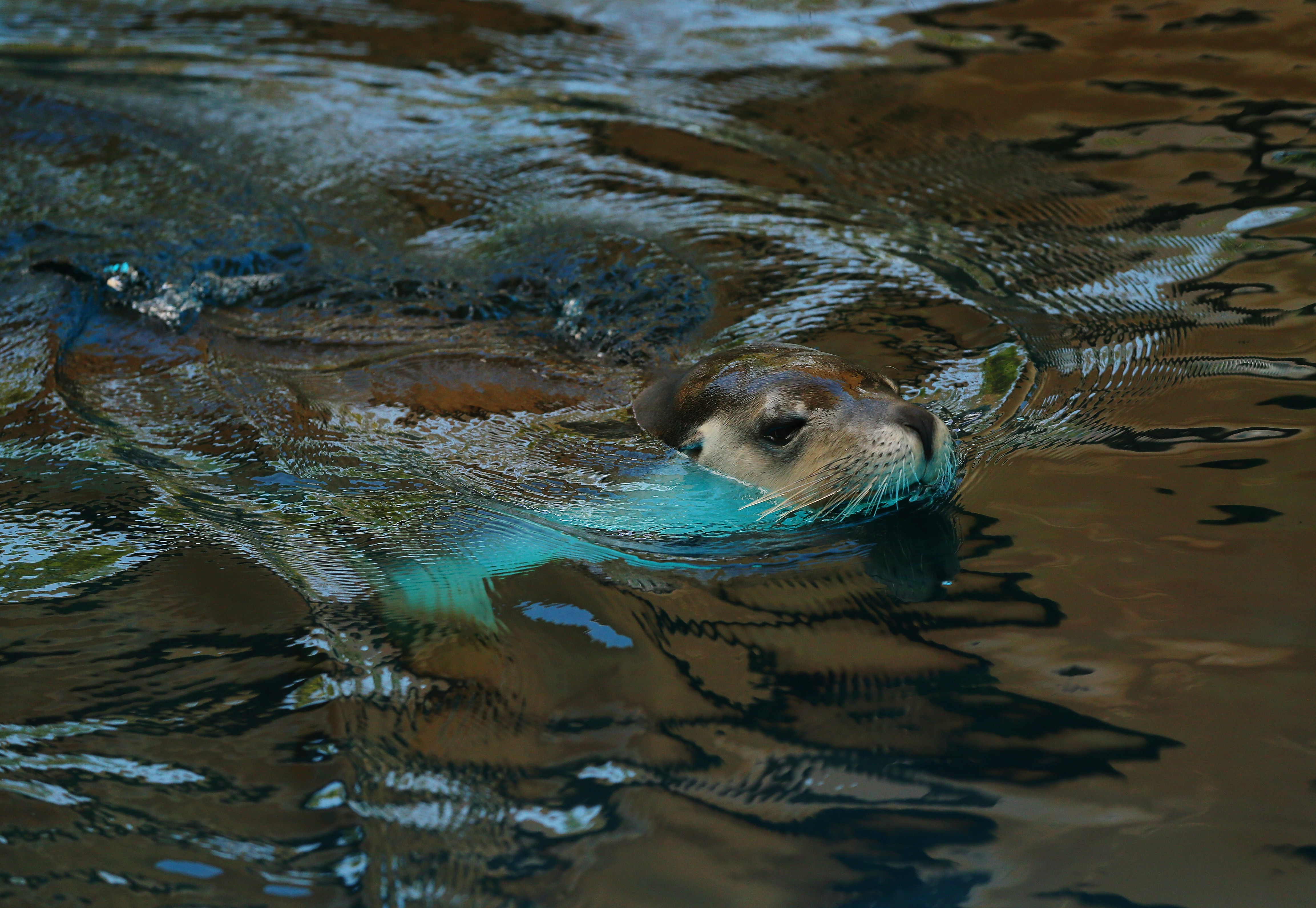 SYDNEY, AUSTRALIA - DECEMBER 21:  A sea lion emerges from under the water whilst swimming at Taronga Zoo on December 21, 2016 in Sydney, Australia. Taronga's resident Meerkats, Lemurs and Sea Lions were given special Christmas-themed enrichment treats, designed to encourage their natural skills.  (Photo by Don Arnold/WireImage)