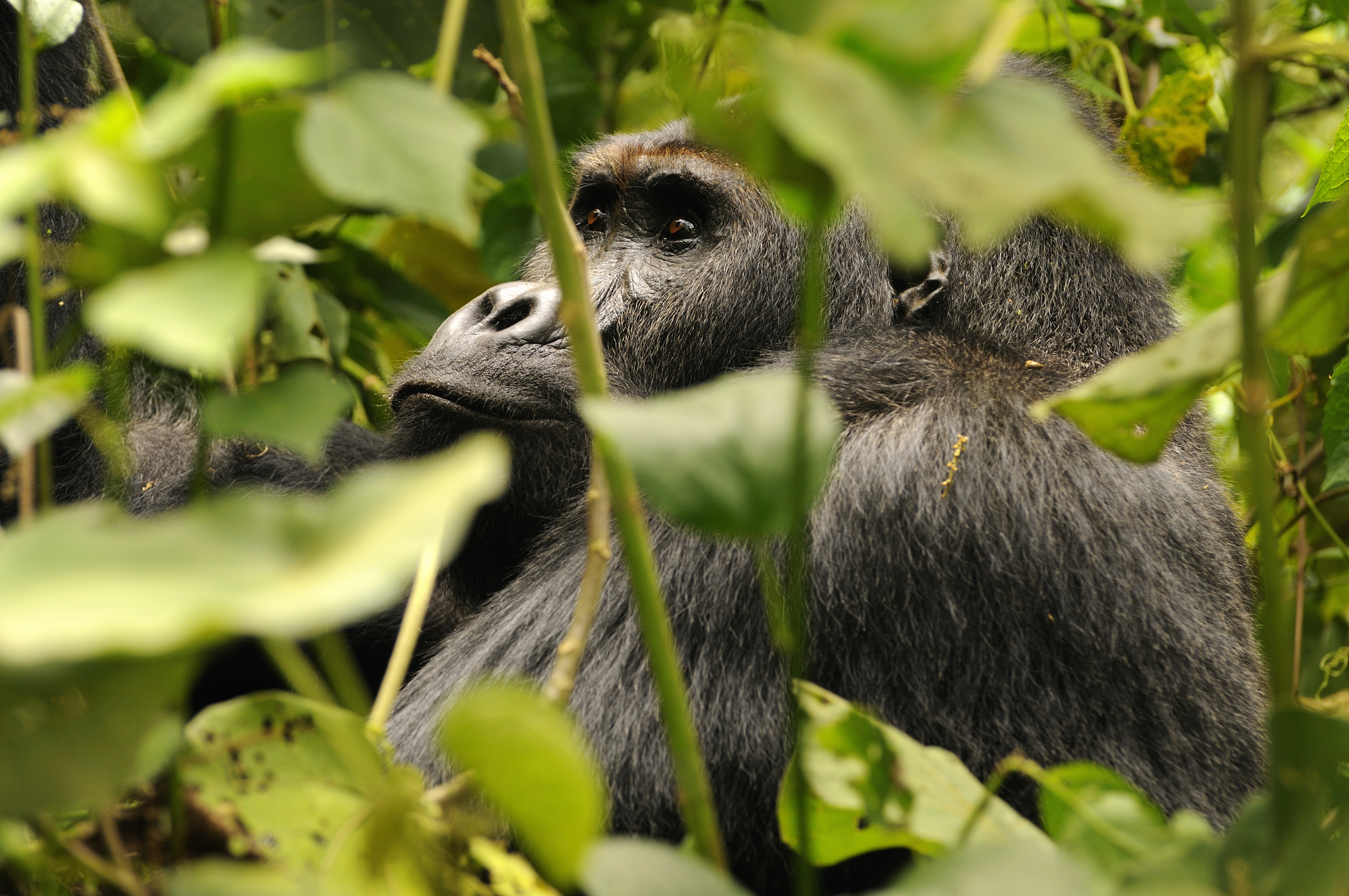 Eastern Lowland Gorilla, a silverback male called Chimanuka in Kahuzi-Biega National Park, Democratic Republic of Congo