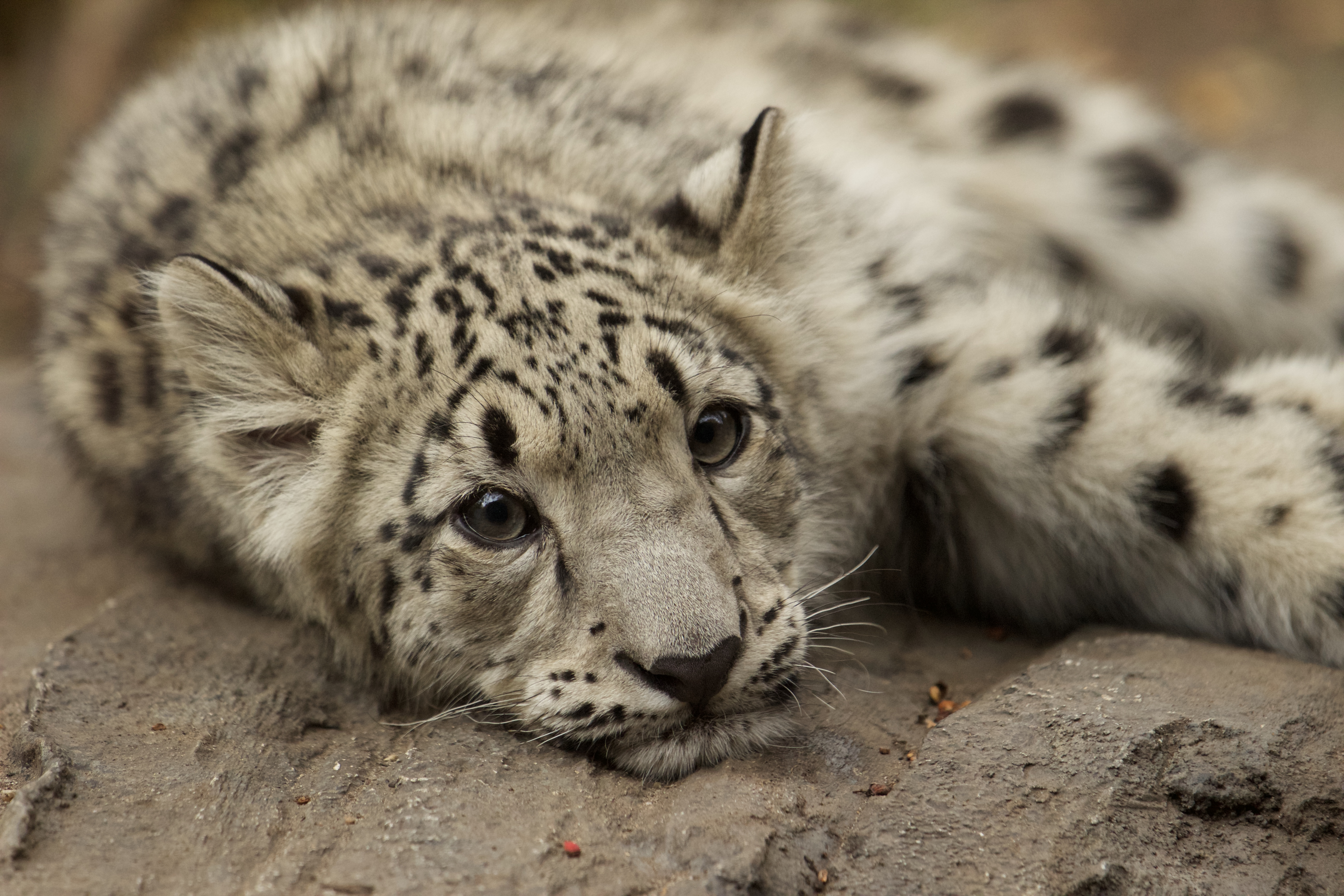 A snow leopard cub rests at New York City's Central Park Zoo.