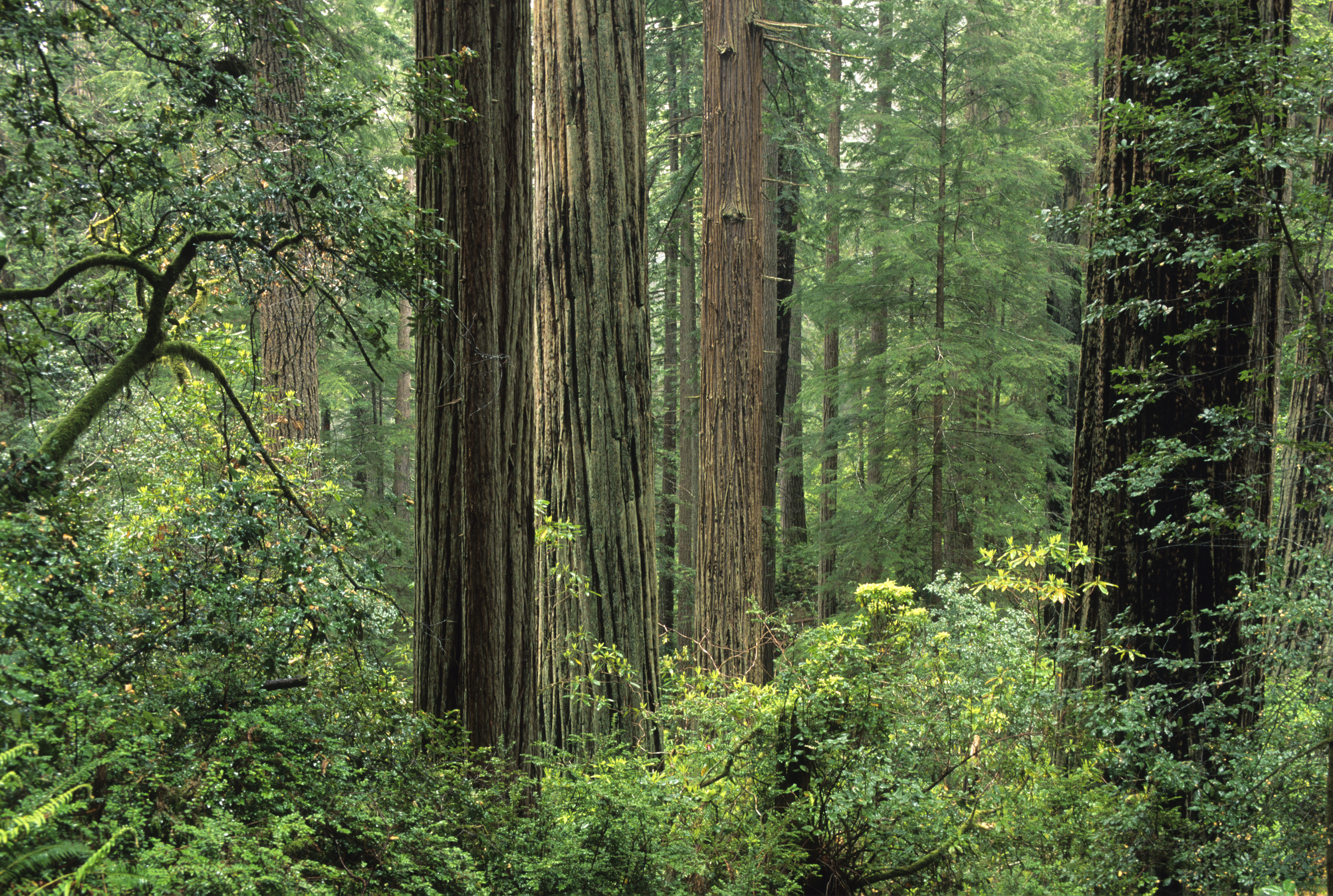 Old-growth coast redwood forest, Sequoia sempervirens, Prairie Creek Redwoods State Park, California, USA