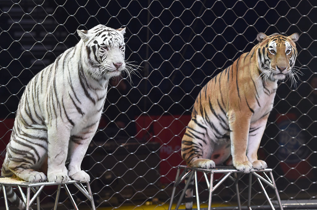Ringling Bro's Barnum and Bailey tigers perform for kids during Circus With a Purpose VIP event for Monroe Carell Jr. Children's Hospital at Bridgestone Arena on Dec. 9, 2016 in Nashville, Tennessee.