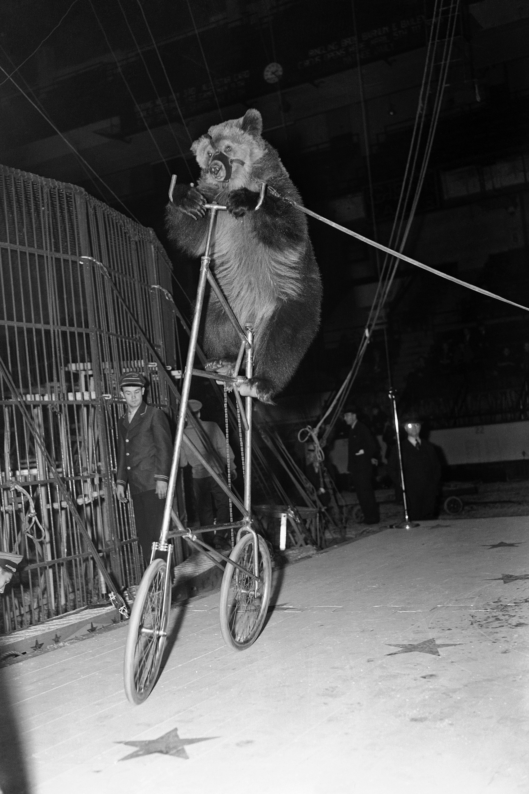Circus bear  Fritz  seems none too pleased with his predicament as he pedals his  high strung  bicycle around at the opening of the Ringling Brothers and Barnum & Bailey Circus at Madison Square Garden in New York on April 5, 1939.