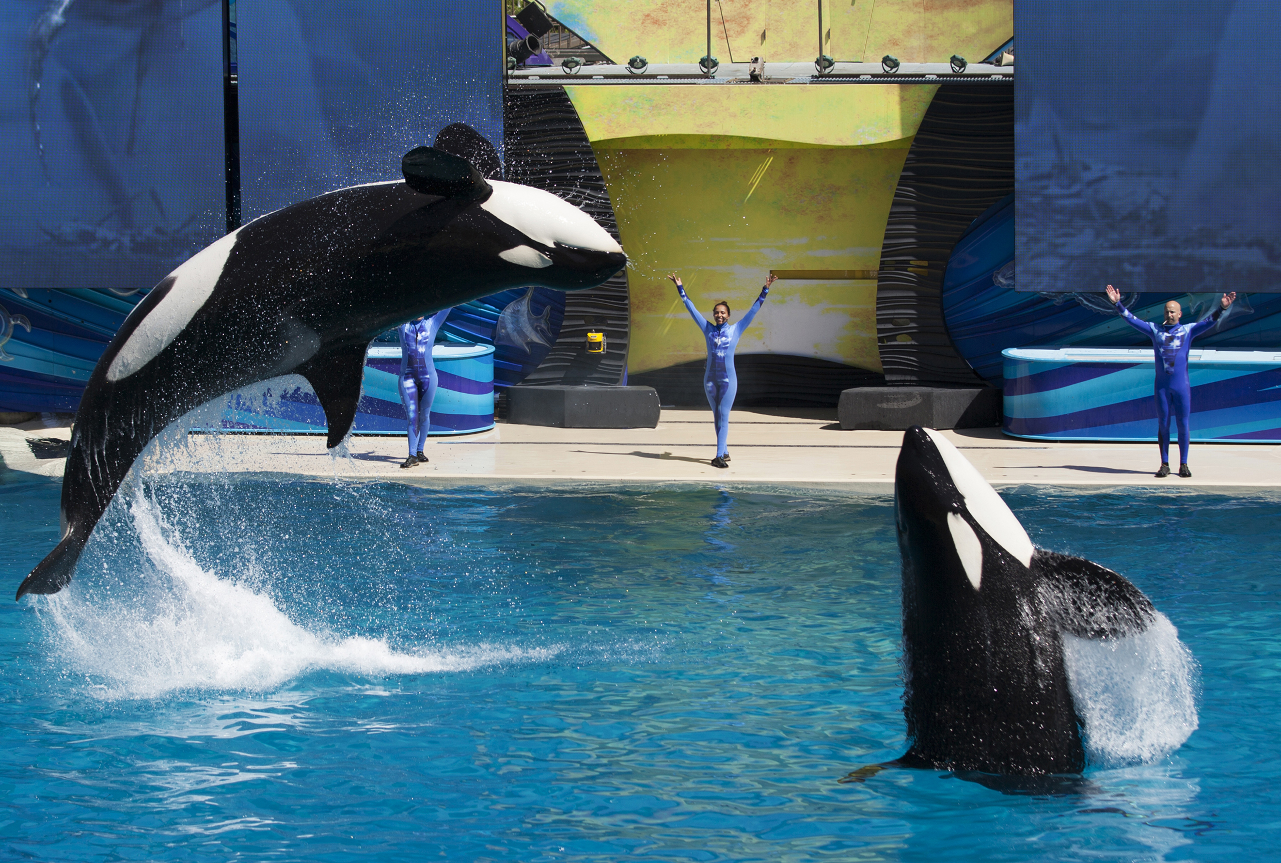 Trainers have killer whales perform for the crowd during a show at SeaWorld in San Diego, California, on March 19, 2014.