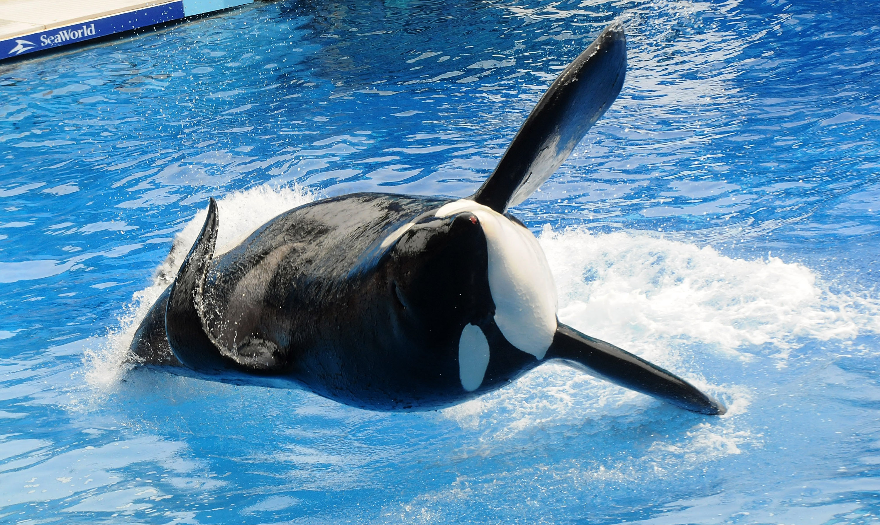 Killer whale  Tilikum  appears during its performance in its show  Believe  at Sea World in Orlando, Florida, on March 30, 2011.