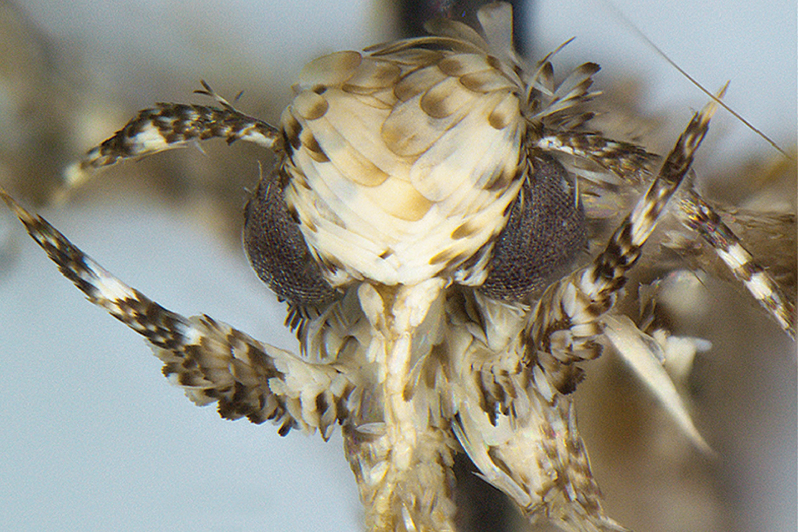 Moth species Neopalpa donaldtrumpi named after Donald Trump