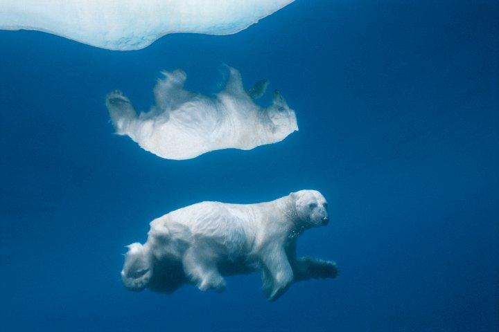 A Polar Bear dives under Ice, Admiralty Inlet, Alaska