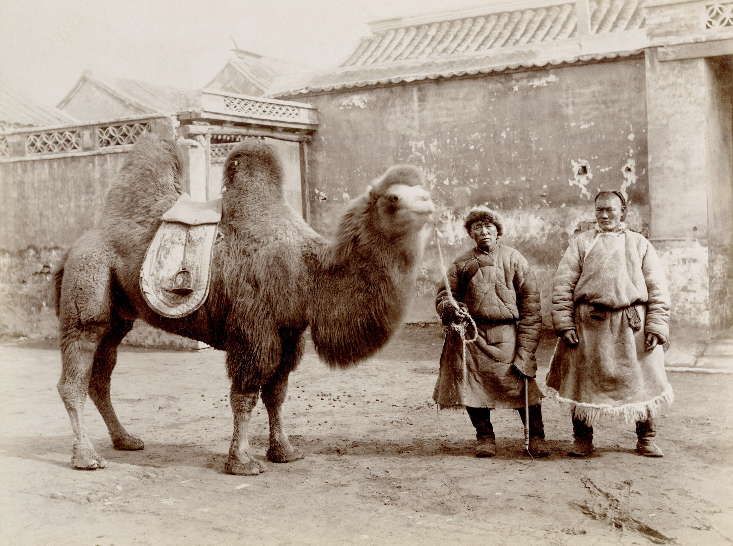 Caption from Stephan Lowentheil Collection. Early photograph of nineteenth-century travelers of the Silk Road. The ancient trade route connected East and West, usually passing through Mongolia, bringing goods from as far away as the Mediterranean. The Silk Road derived its name from the lucrative silk trade from China to the West established during the Han Dynasty (207 B.C.-220 A.D.). Bactrian camels, distinguished by their double humps, are tolerant of cold temperatures, high altitudes, and drought, making them ideal for the arduous caravan journey.
