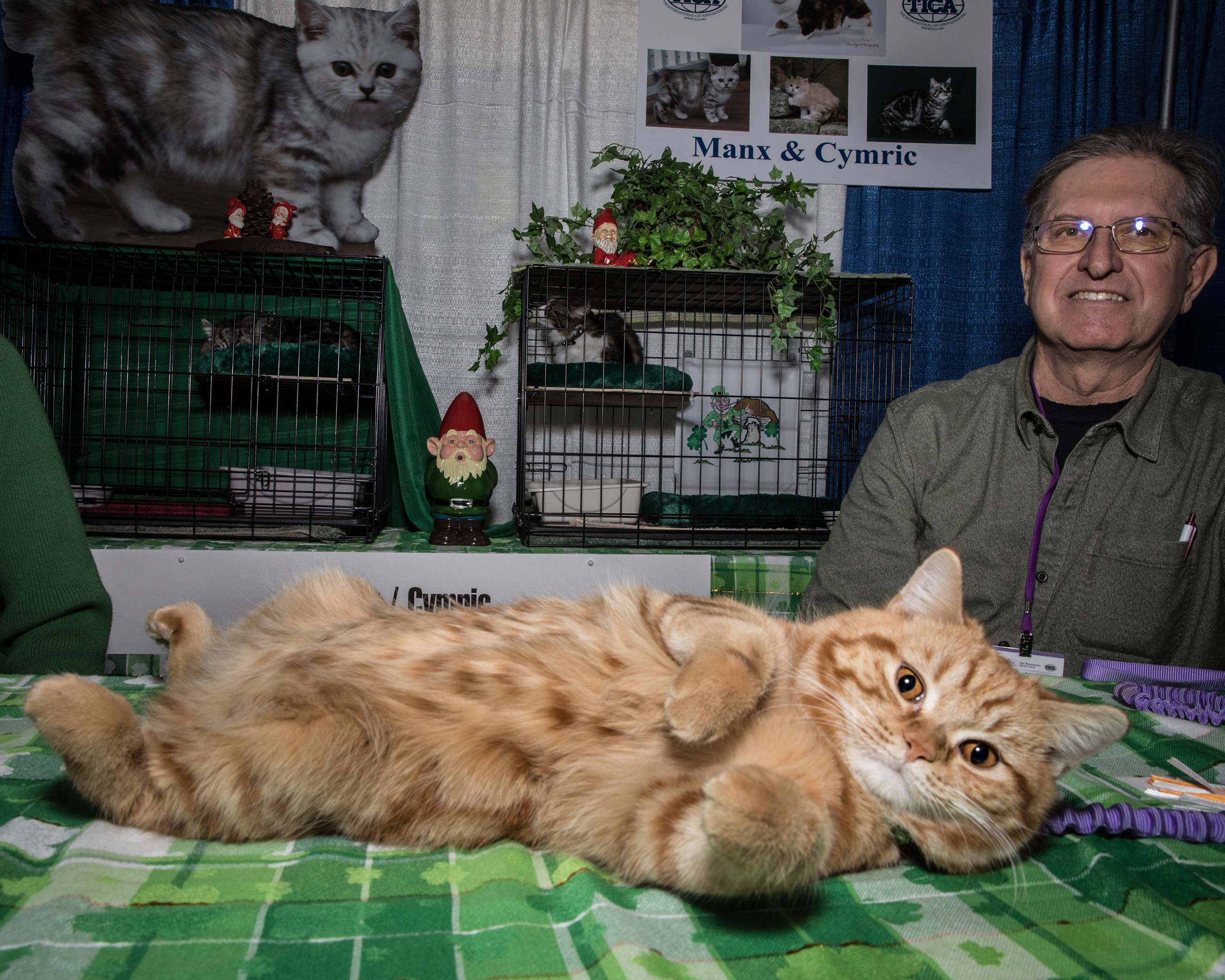A Manx rolls over for the camera at the American Kennel Club's Meet the Breeds event in New York City. For the first time, cats shared space with dogs at Piers 92 and 94 on Feb. 11, 2017.