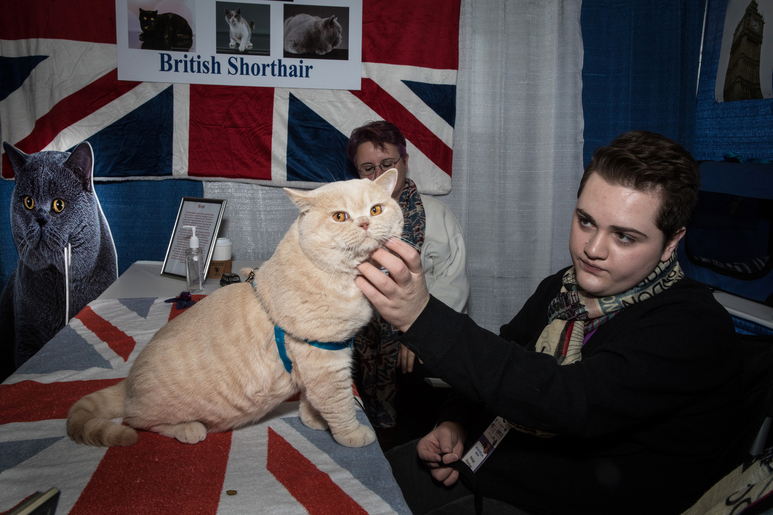 British shorthair, Toby, with owner Micah Silver at the American Kennel Club's Meet the Breeds event on Feb. 11, 2017.