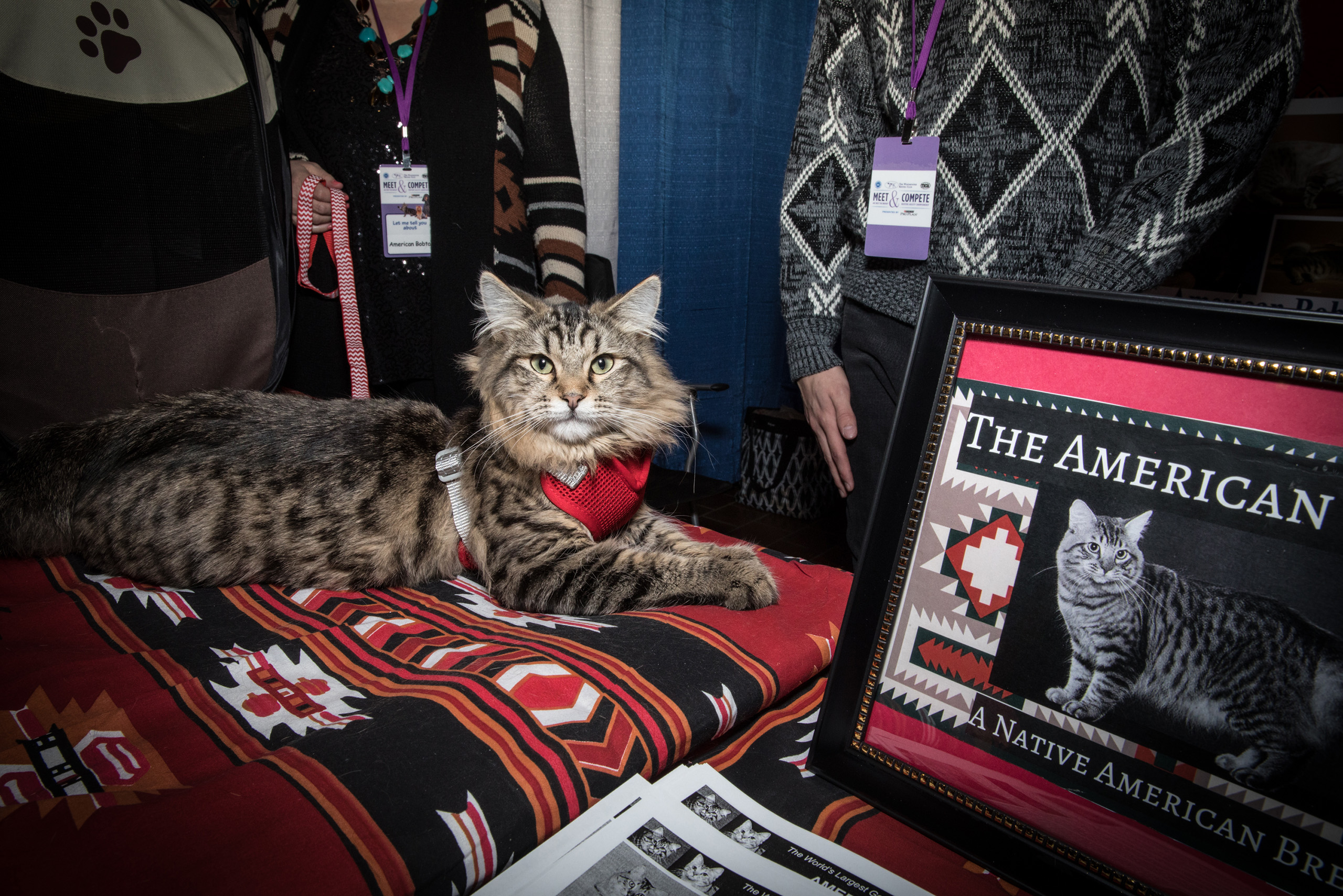 An American Bobtail at the American Kennel Club's Meet the Breeds event on Feb. 11, 2017.