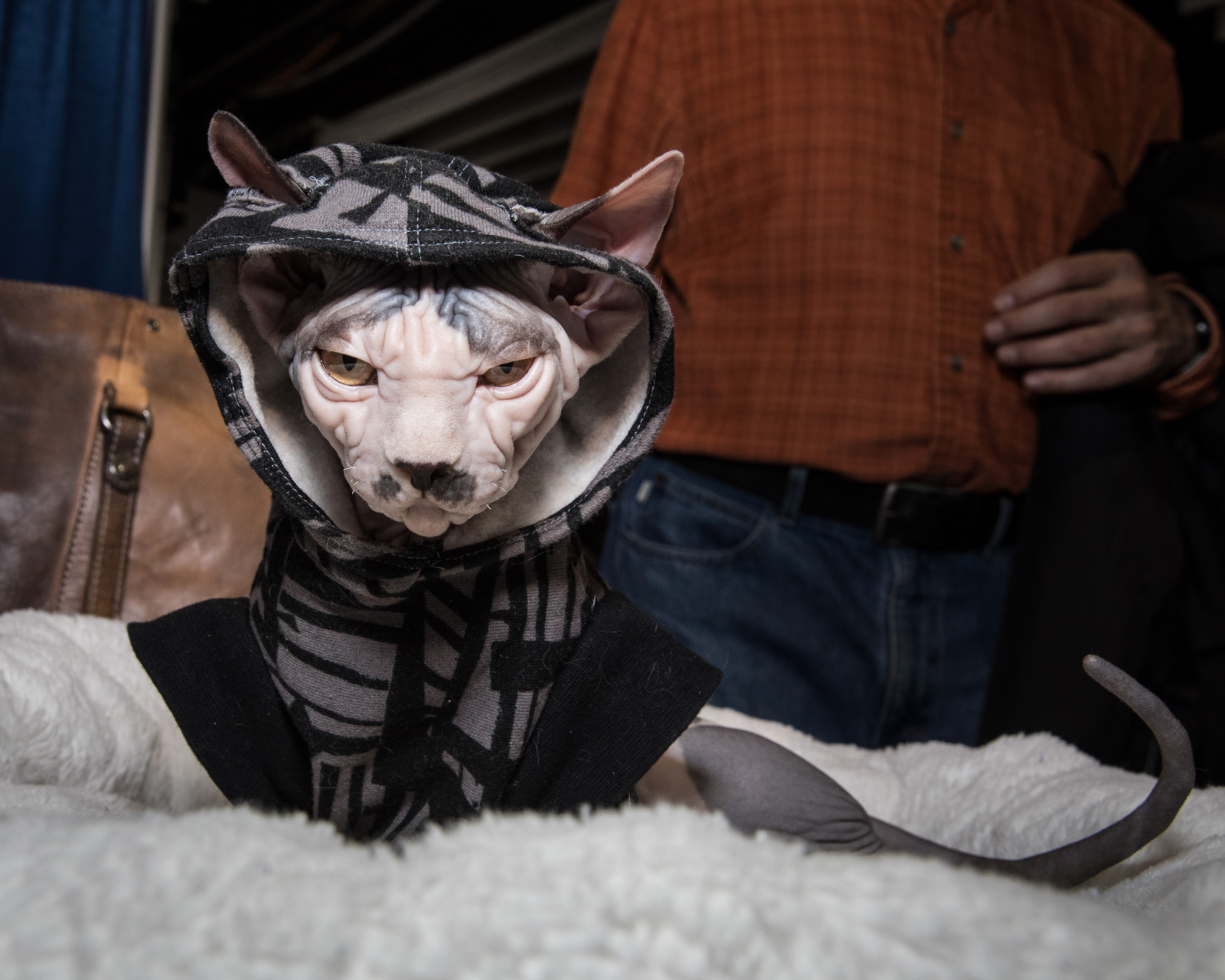 Phillipe, a Sphynx owned by Emily Greene at the American Kennel Club's Meet the Breeds event on Feb. 11, 2017.