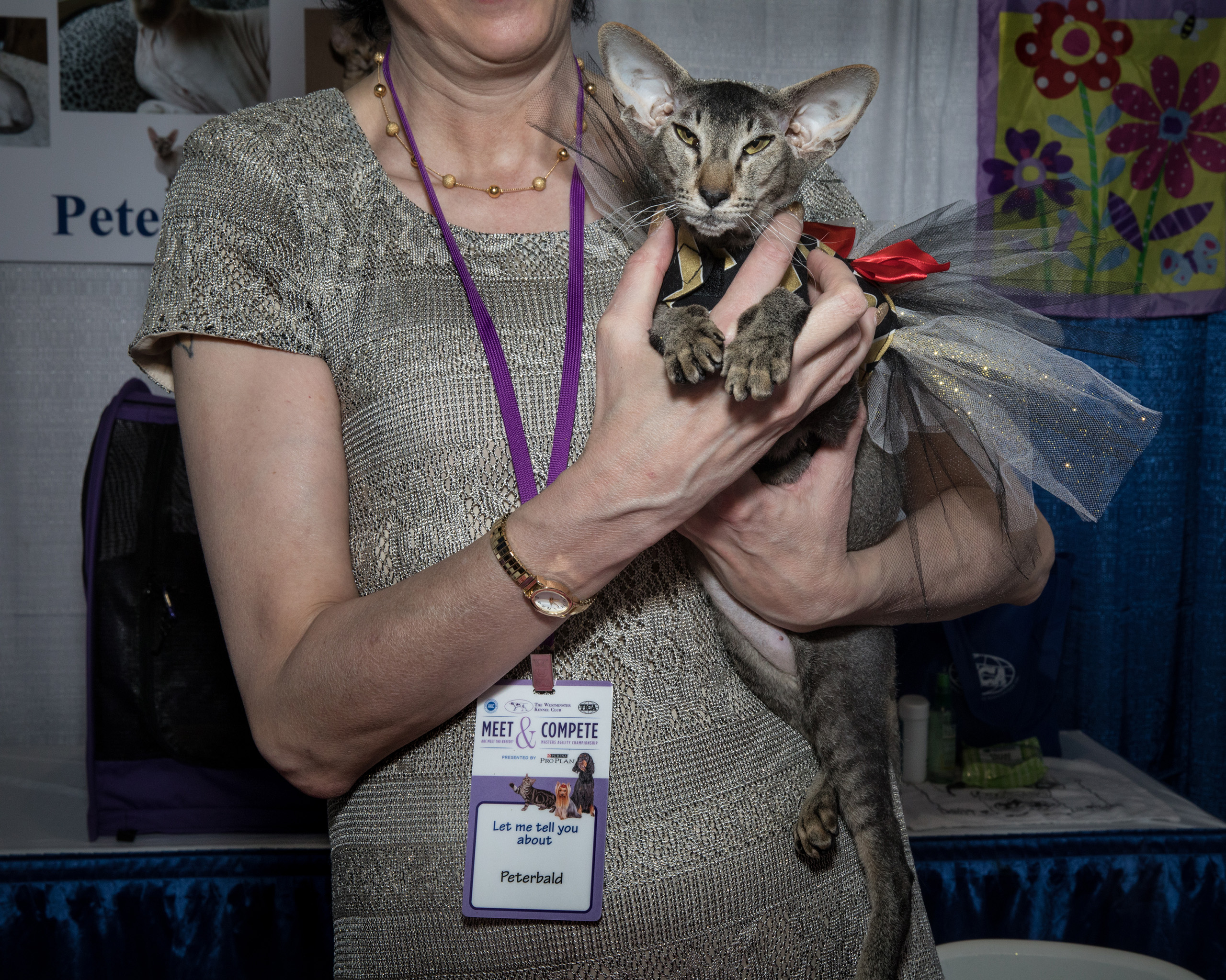 Chelsey, a Peterbald owned by Jackie Rose at the American Kennel Club's Meet the Breeds event on Feb. 11, 2017.