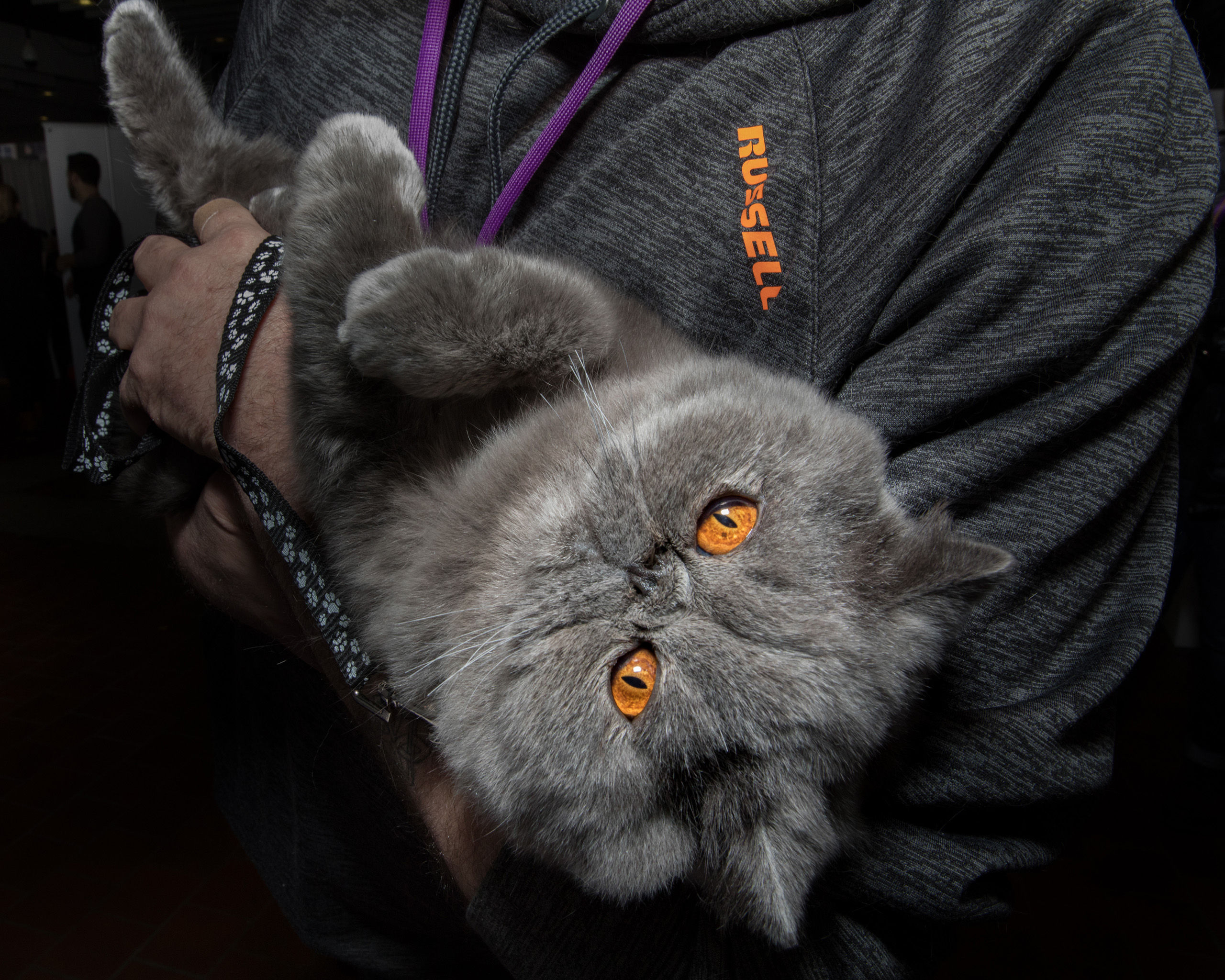 John Paul, an Exotic Shorthair at the American Kennel Club's Meet the Breeds event on Feb. 11, 2017.