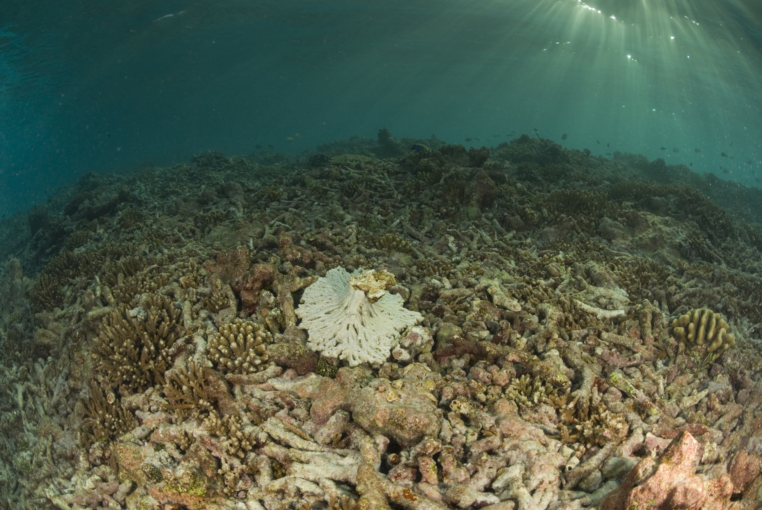 Coral reef in Seychelles that is degraded due to global warming.