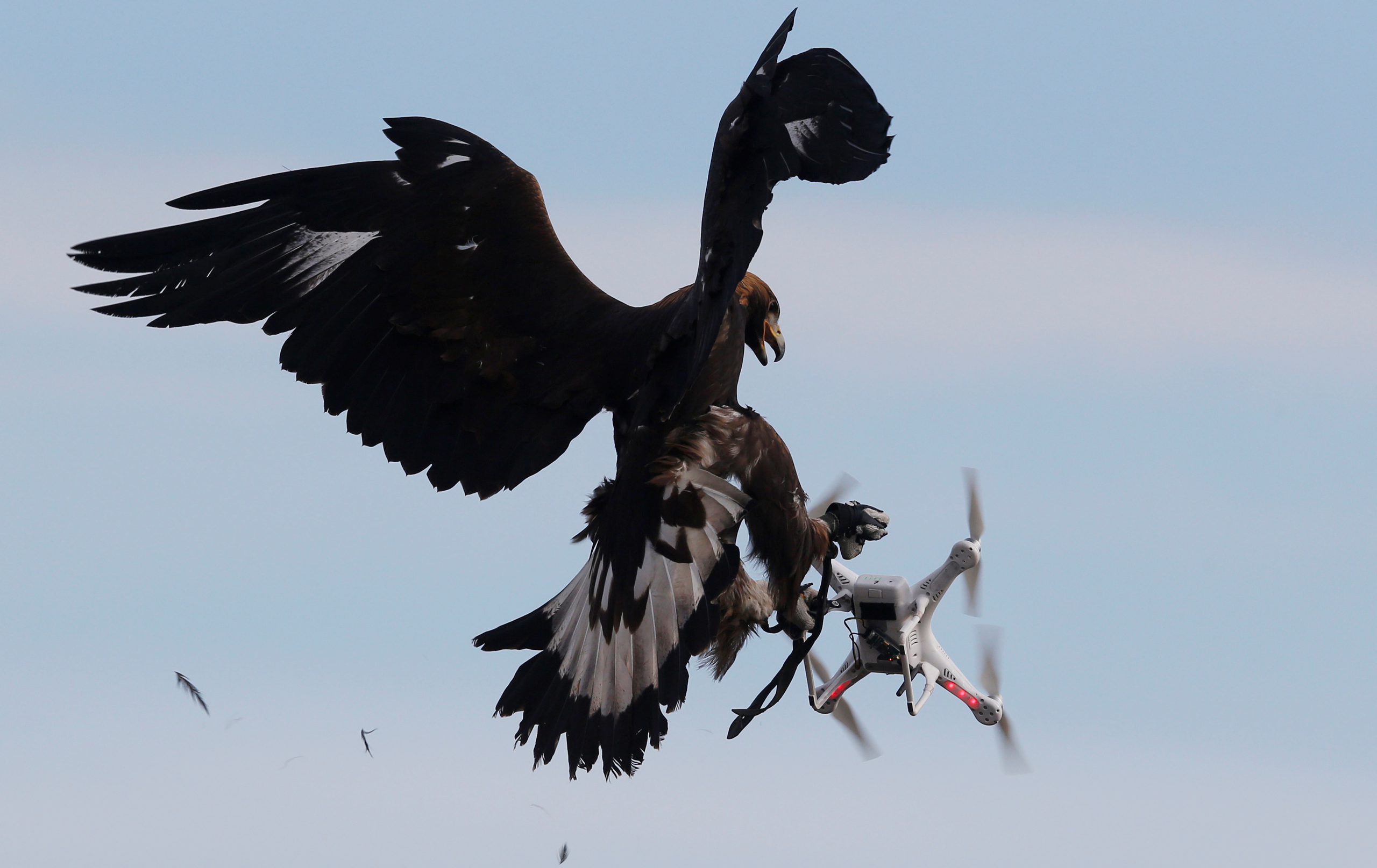 A golden eagle grabs a drone during a military training exercise at Mont de Marsan French Air Force base in southwestern France on Feb. 10, 2017.