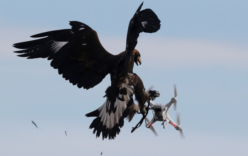 A golden eagle grabs a drone during a military training exercise at Mont de Marsan French Air Force base