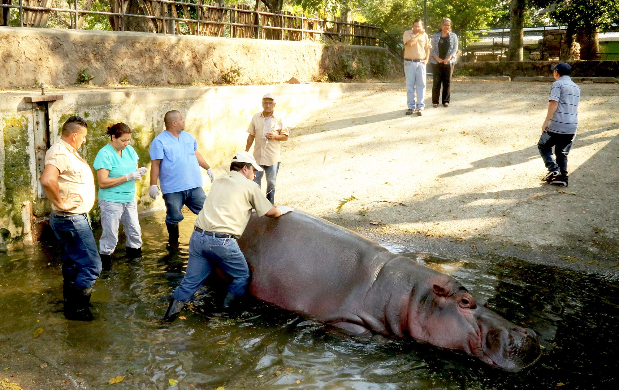 A handout photo made available by El Salvador's Culture Ministry shows El Salvador National Zoo personnel attending to a hippopotamus named Gustavito in San Salvador, El Salvador on Feb. 25 2017.