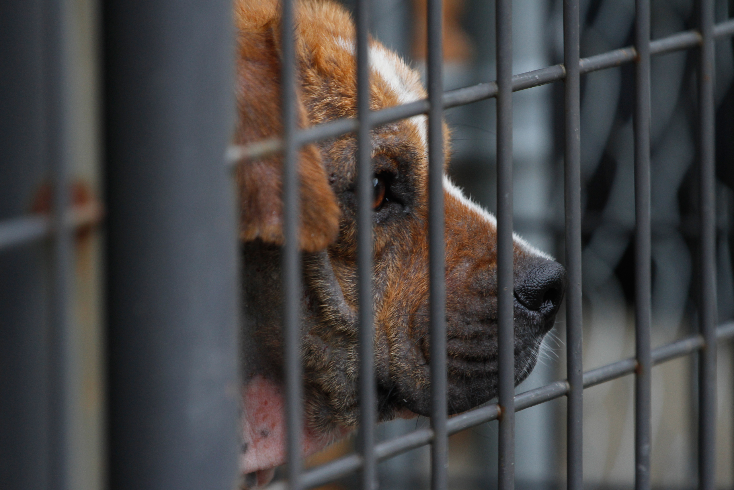 A recently rescued quarantined dog that is suffering from mange looks out of its cage at the Pet Placement Center in Red Bank, Tenn., on June 13, 2014.
