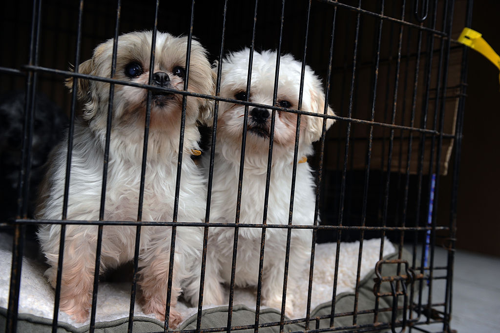 Two dogs, rescued from a puppy mill, huddle up in their cage in the back of a truck on Feb. 2, 2013.