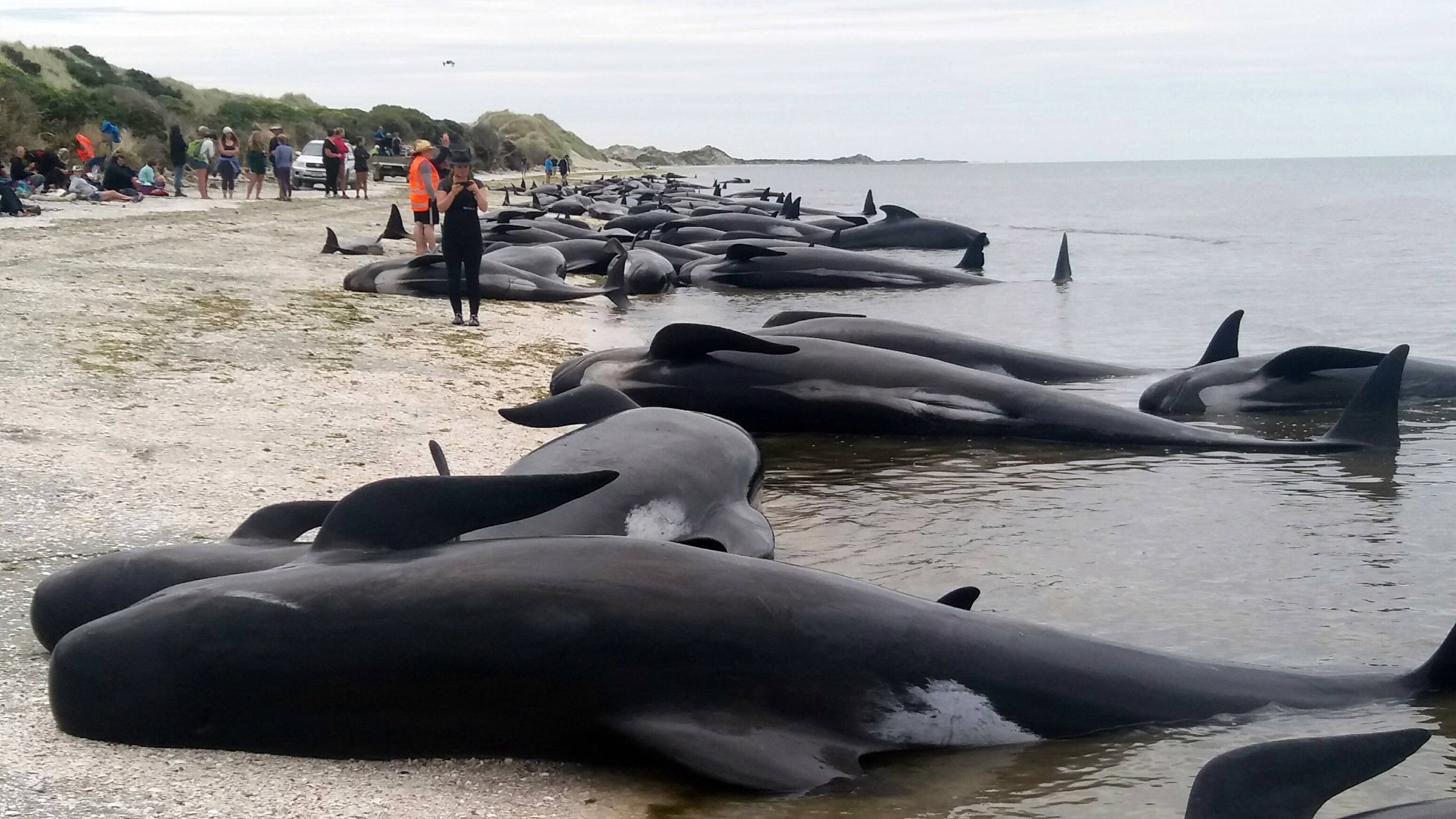 Whales are stranded at Farewell Spit near Nelson, New Zealand, on Feb. 10, 2017