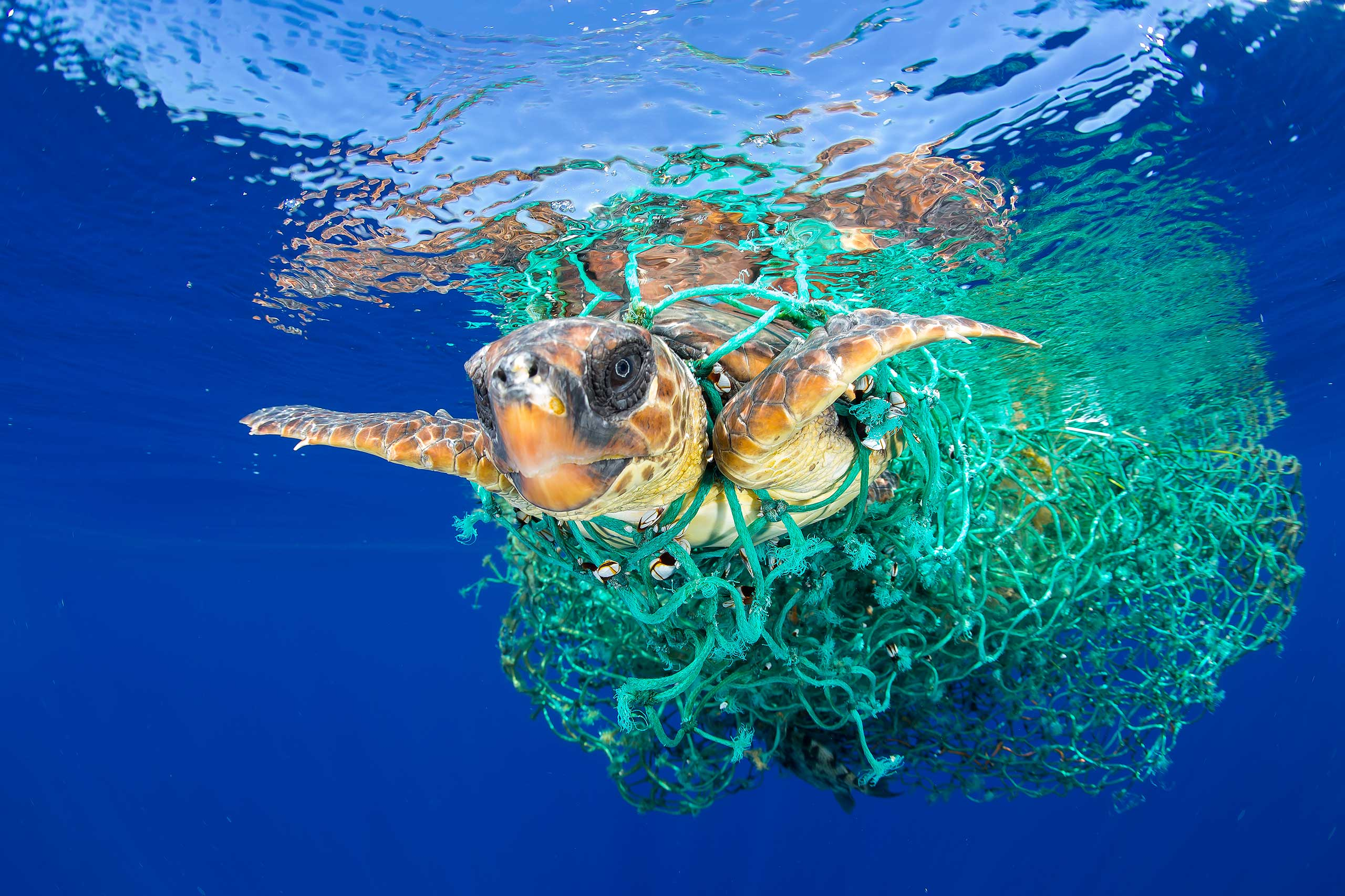 A sea turtle entangled in a fishing net swims off the coast of Tenerife, Canary Islands, Spain, on June 8, 2016.