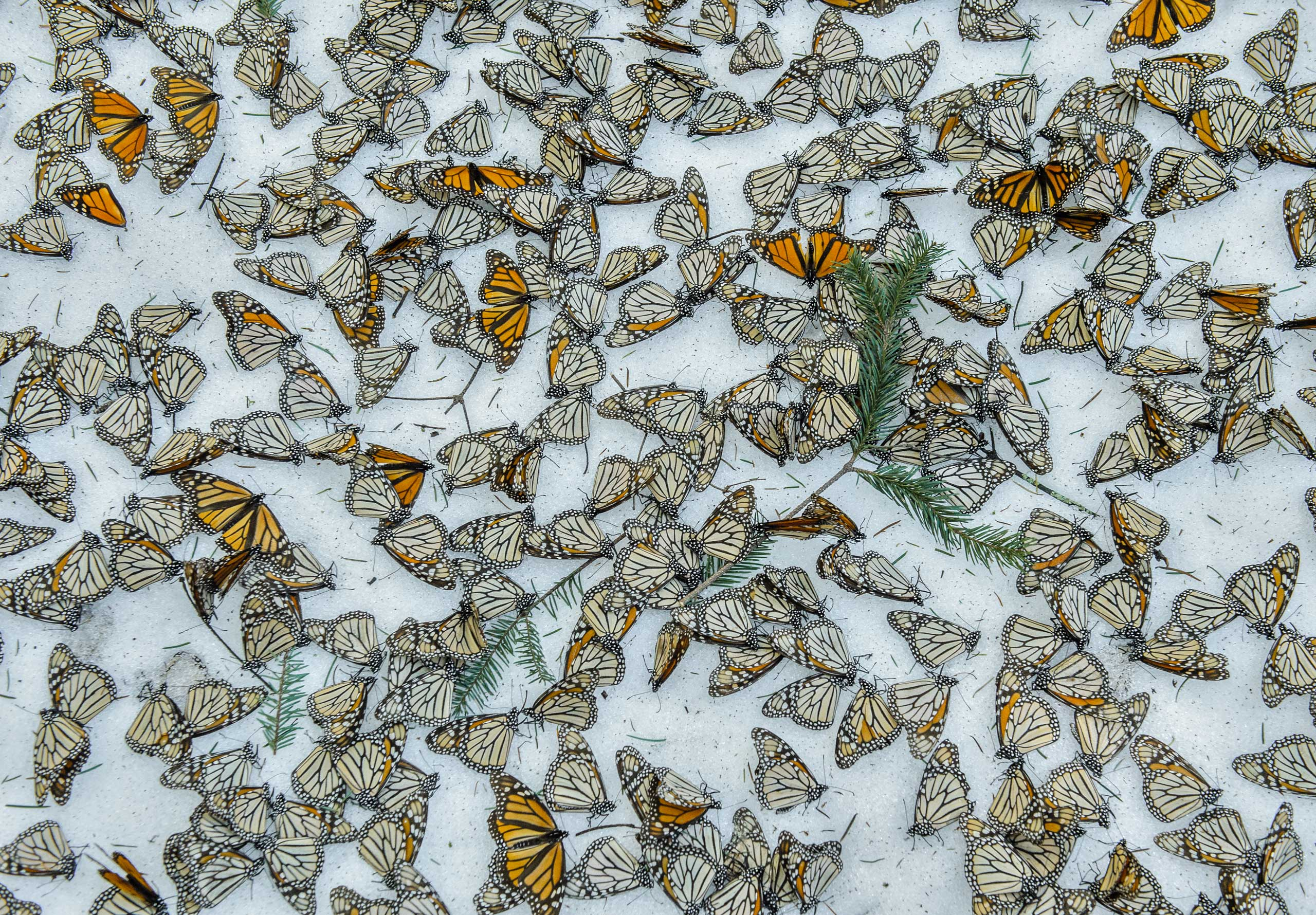 A carpet of monarch butterflies cover the forest floor of El Rosario Butterfly Sanctuary, in Michoacan, Mexico, on March 12, 2016, after a strong snowstorm hit a few days earlier.