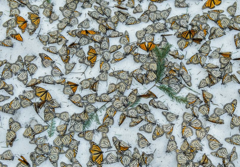A carpet of Monarch Butterflies covers the forest floor of El Rosario Butterfly Sanctuary after a snow storm that hit the state of Michoacán in Mexico on March 2015.On March 8th and 9th of 2016 a strong snow storm hit the mountains of Central Mexico creating havoc in the wintering colonies of Monarch Butterflies just when they were starting their migration back to U.S.A. and Canada.Monarch butterflies are surprisingly resilient and they can survive several days in below zero temperatures as long as they remain dry. Deforestation reduces the shelter for the butterflies making them more vulnerable to the weather elements. And although illegal logging has been curbed thanks to the conservation efforts in Mexico, climate change is creating an increase of these unusual weather events which represent one of the biggest challenges for these insects during their hibernation period.