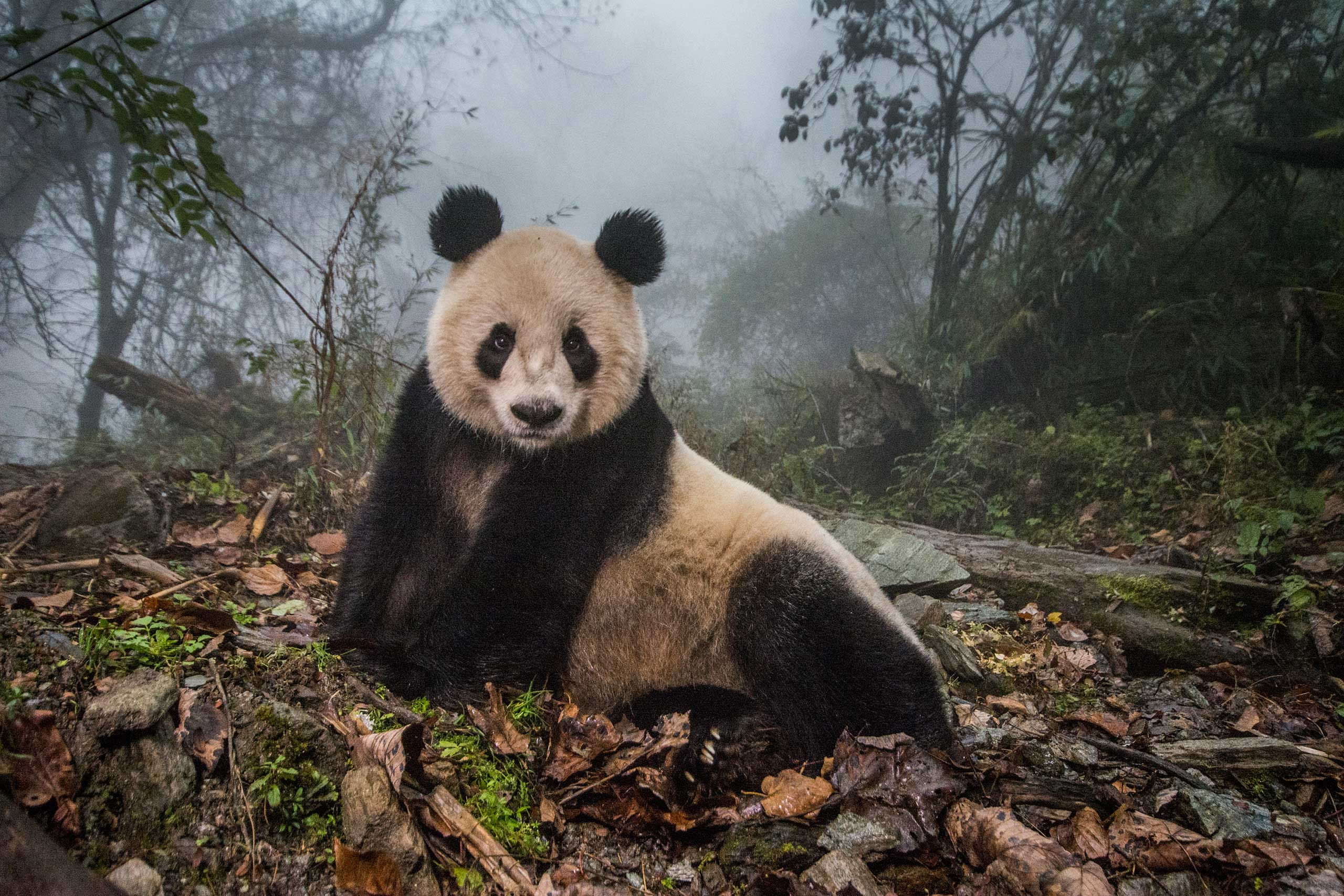 Ye Ye, a 16-year-old giant panda, lounges in a massive wild enclosure at a conservation center in Wolong Nature Reserve.
