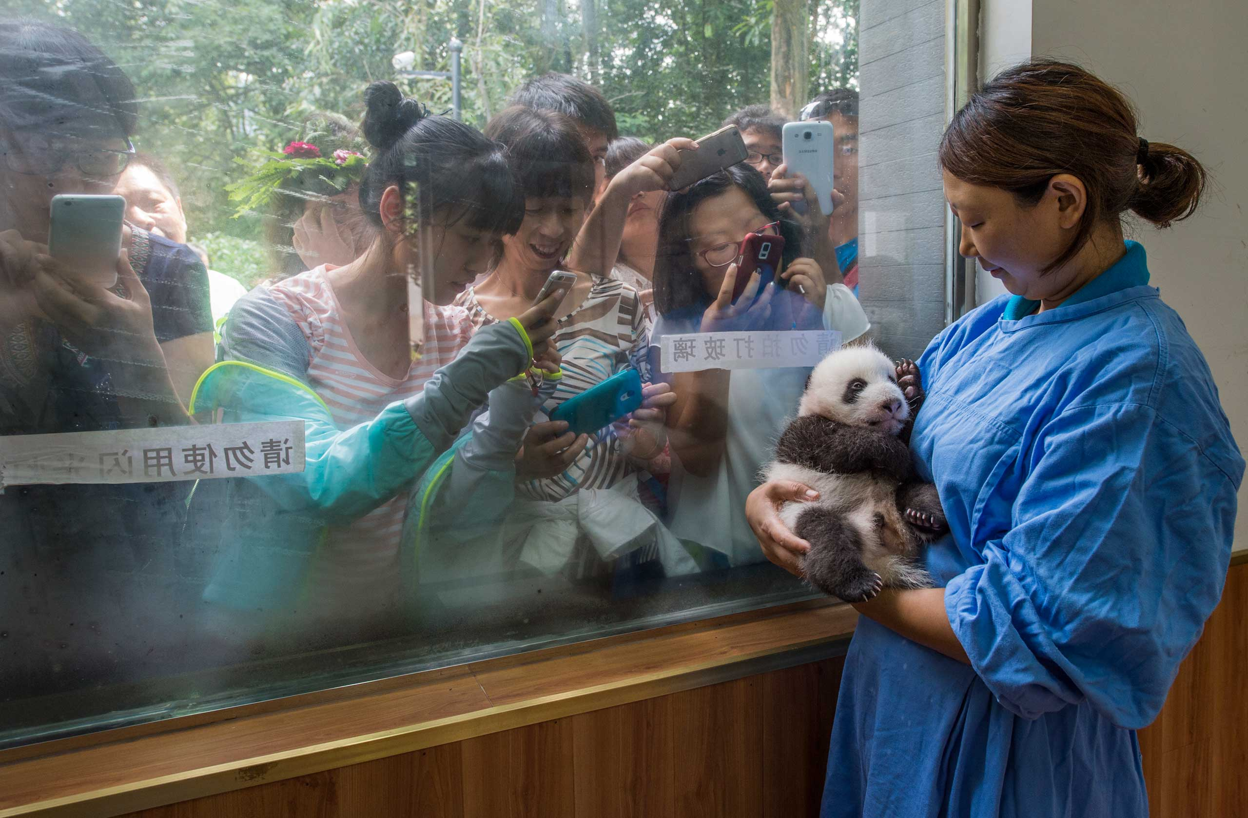 Caretaker Li Feng cradles her precious charge by the window of Bifengxia's panda nursery, the most popular stop for visitors touring the facilities. More than 400,000 people visit each year to glimpse and snap photos of China's most beloved baby animals.